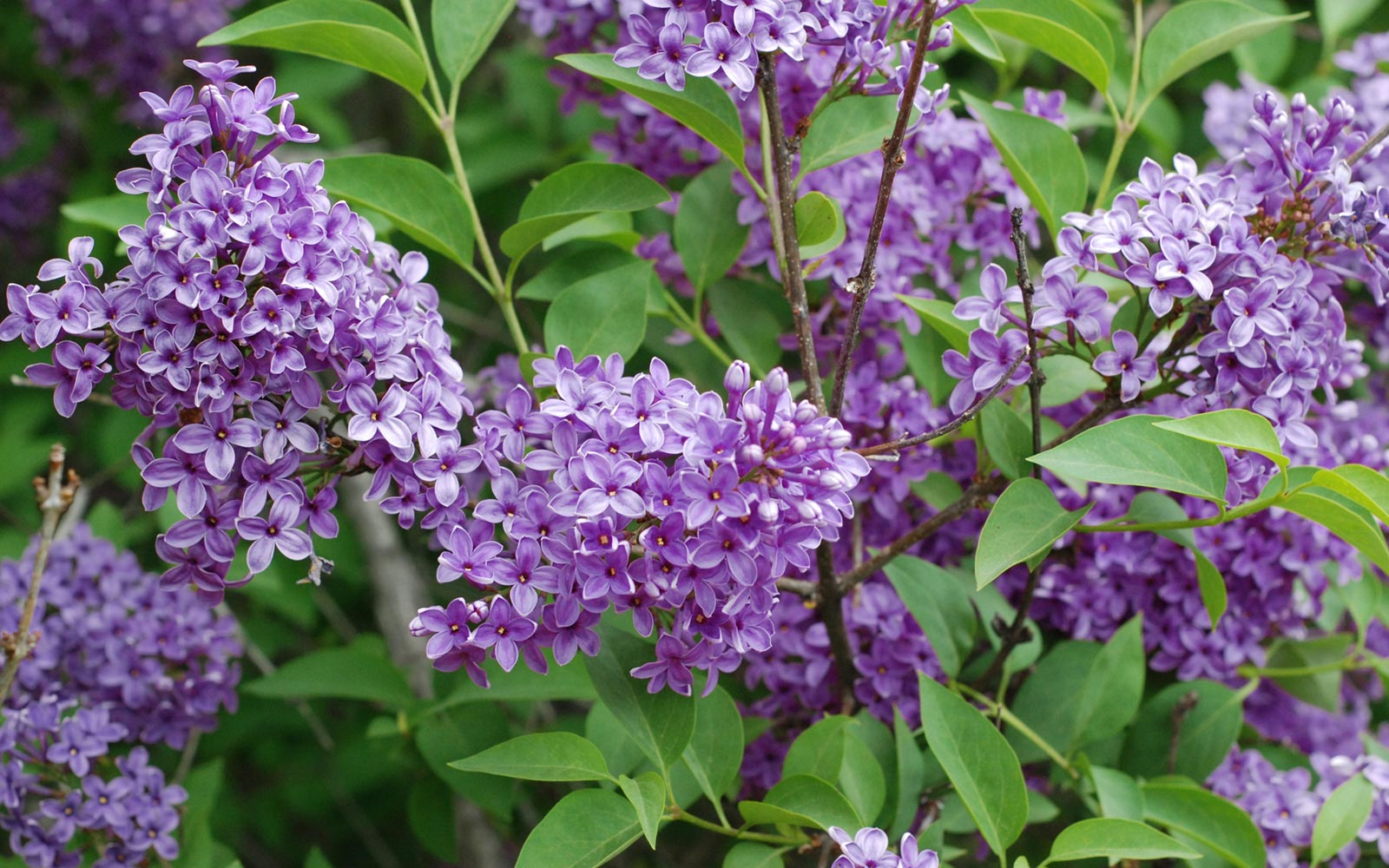 Rochester Lilac Festival, New York