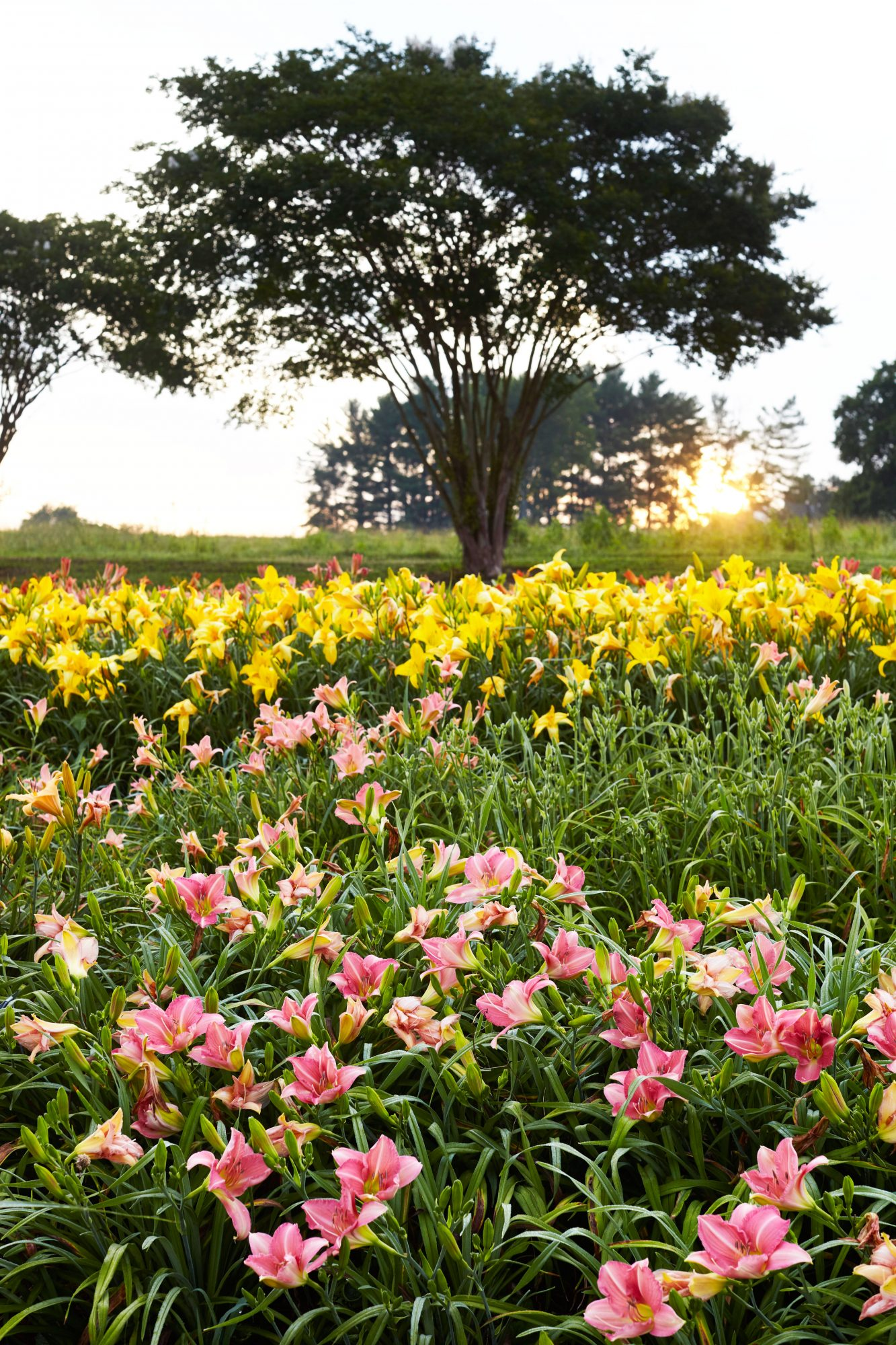 Pink and Yellow Daylily Field