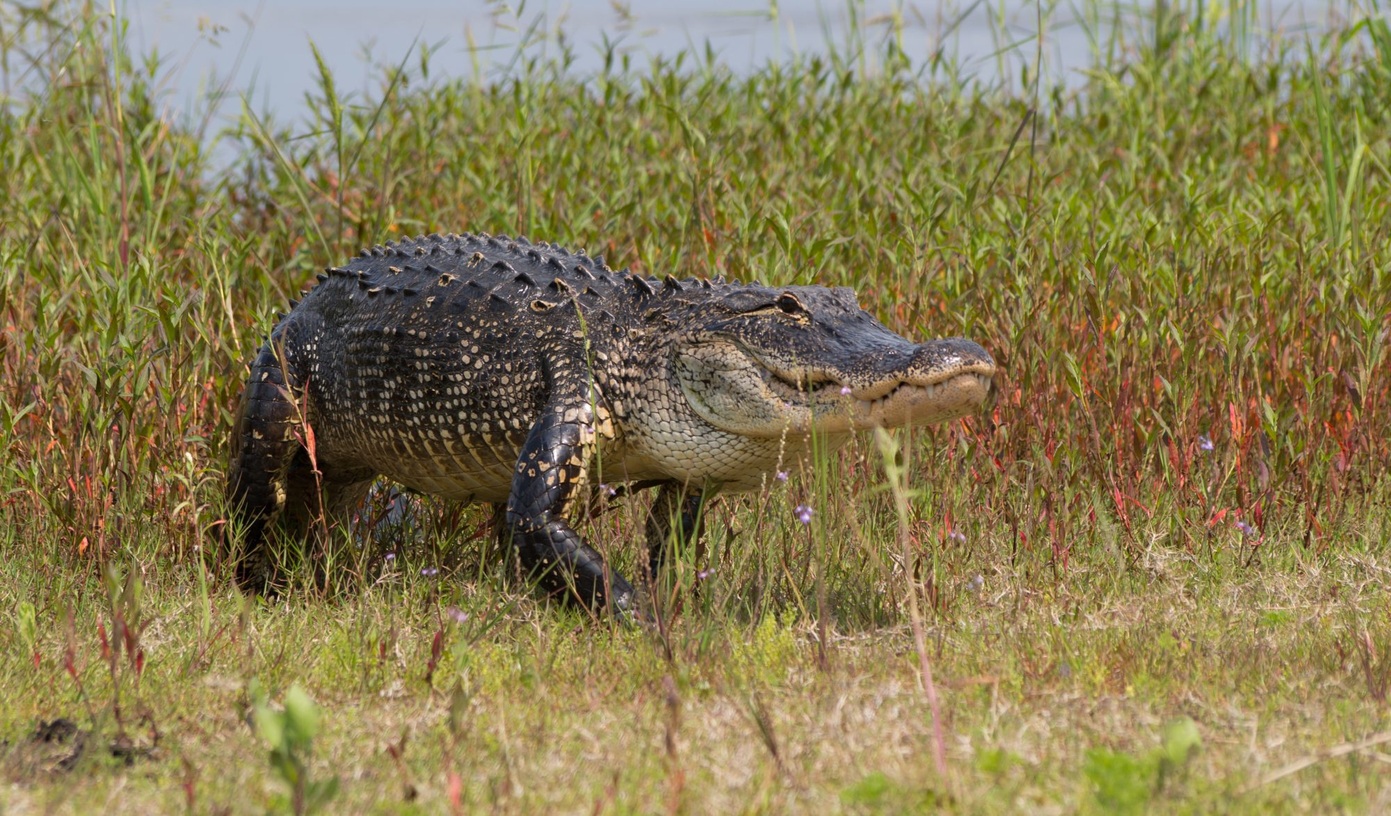 Southern Living Florida Texas Alligator Sightings