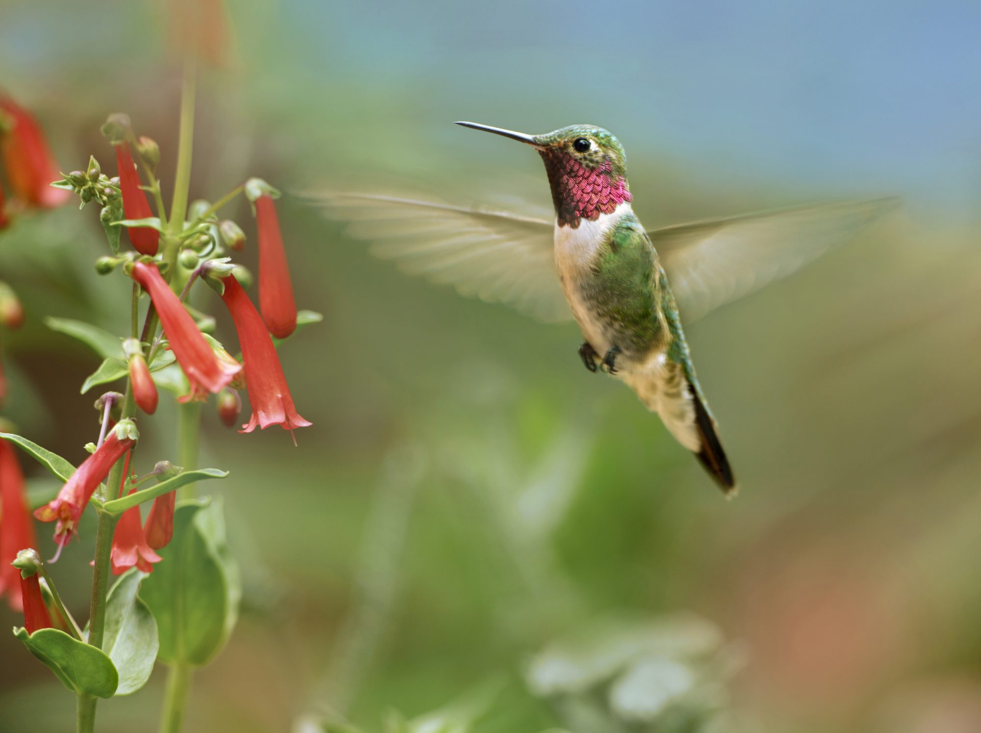 They're Coming! When to Expect Hummingbirds This Spring