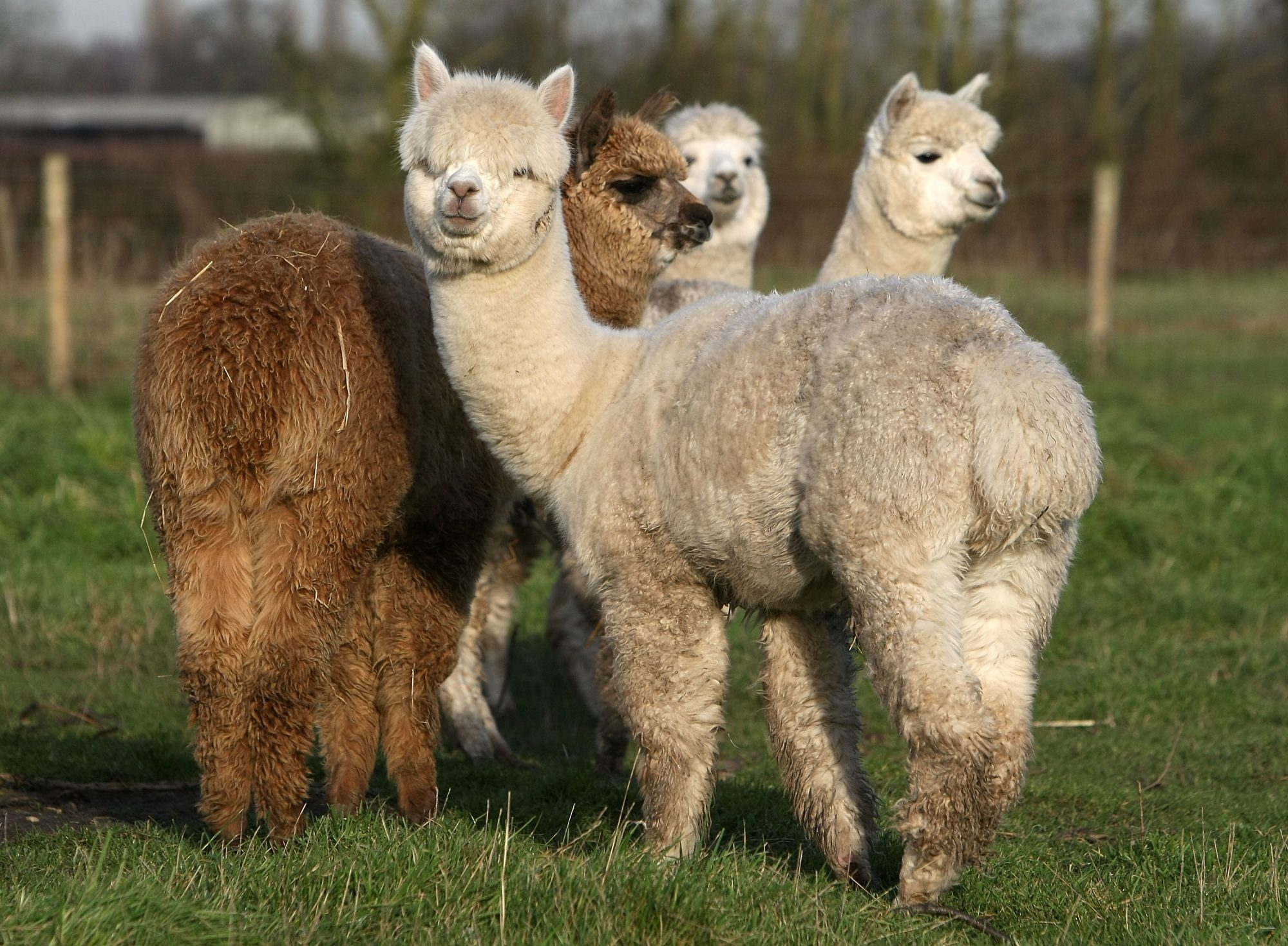 Alpaca Farmer Produces Christmas Gifts
