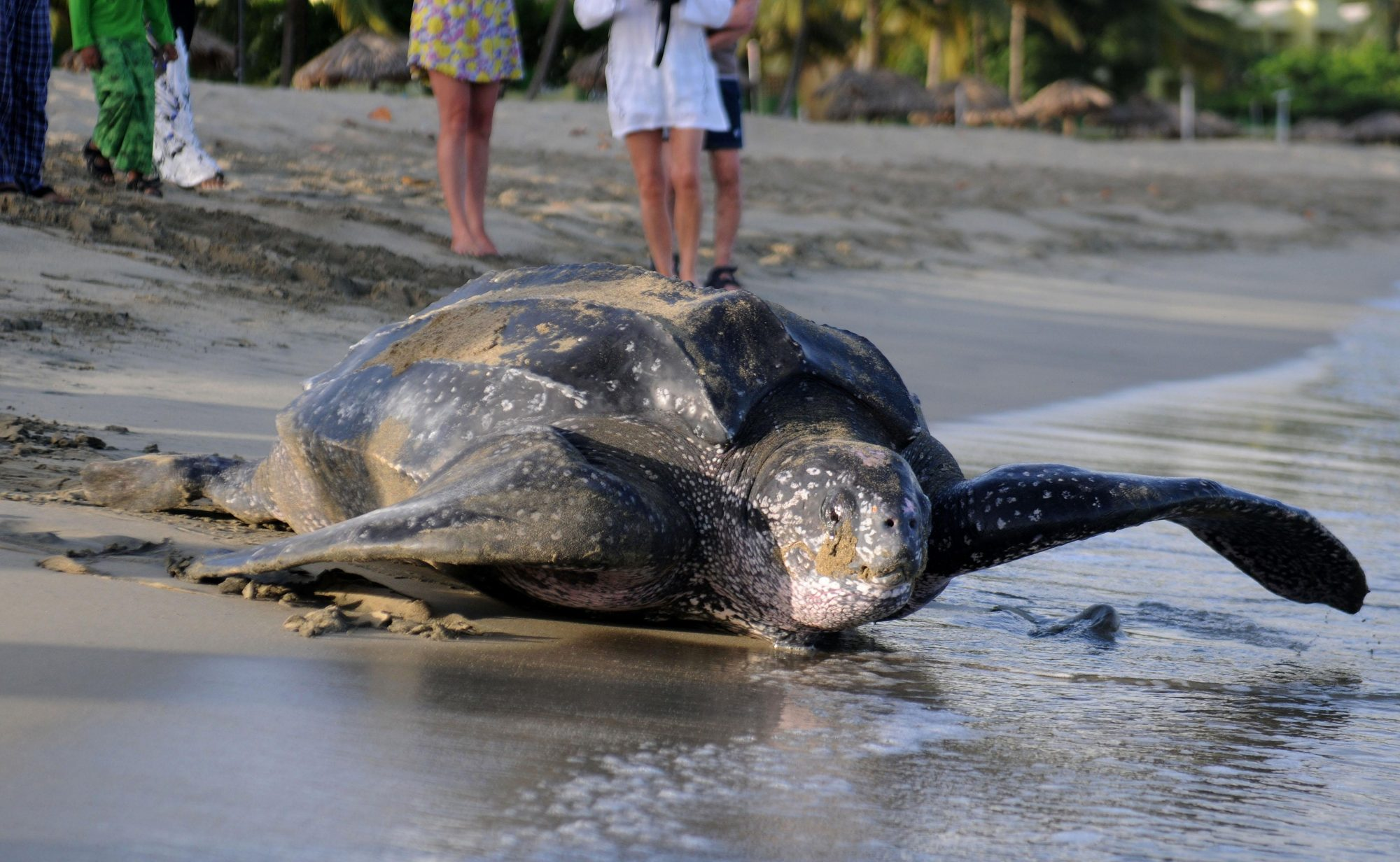 North Carolina Leatherback Turtle