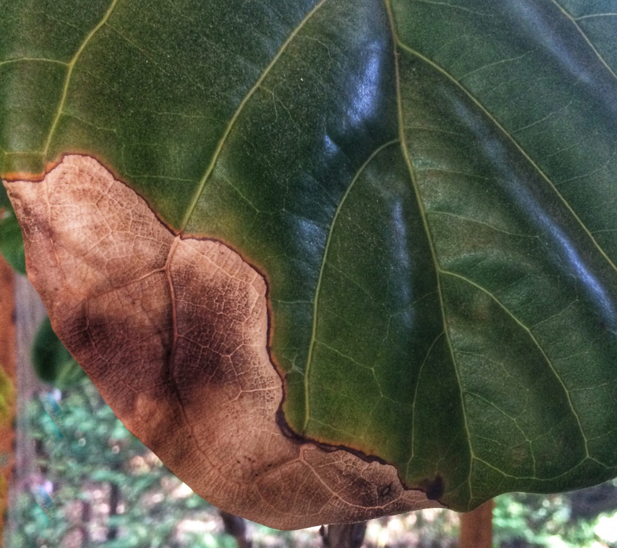 The Right Way To Care For A Fiddle Leaf Fig Tree Southern Living