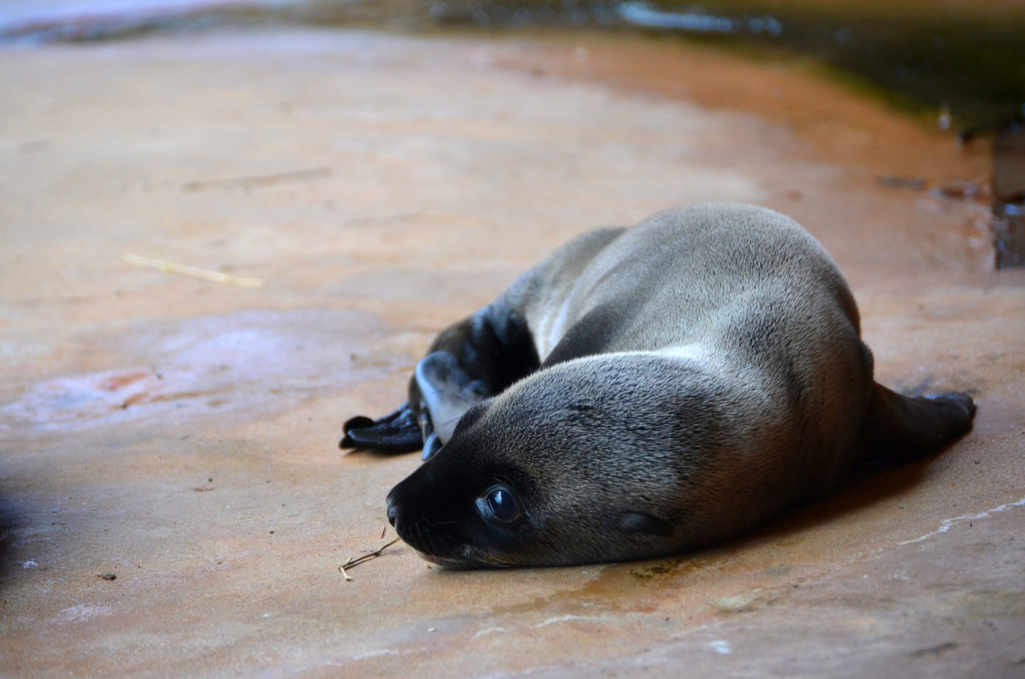 Memphis Zoo Baby Sea Lion