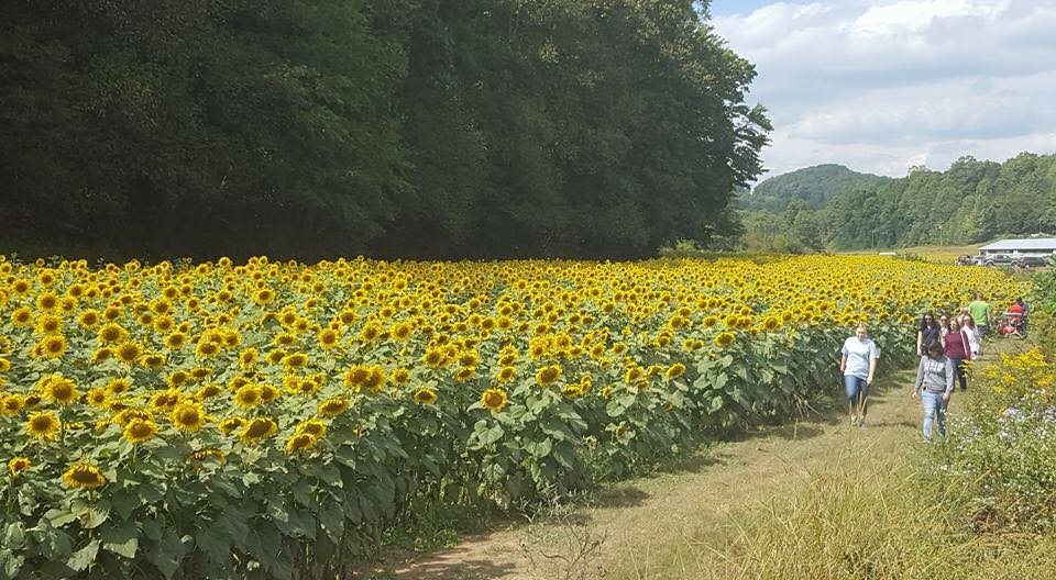 The Prettiest Sunflower Fields in the South - Southern Living