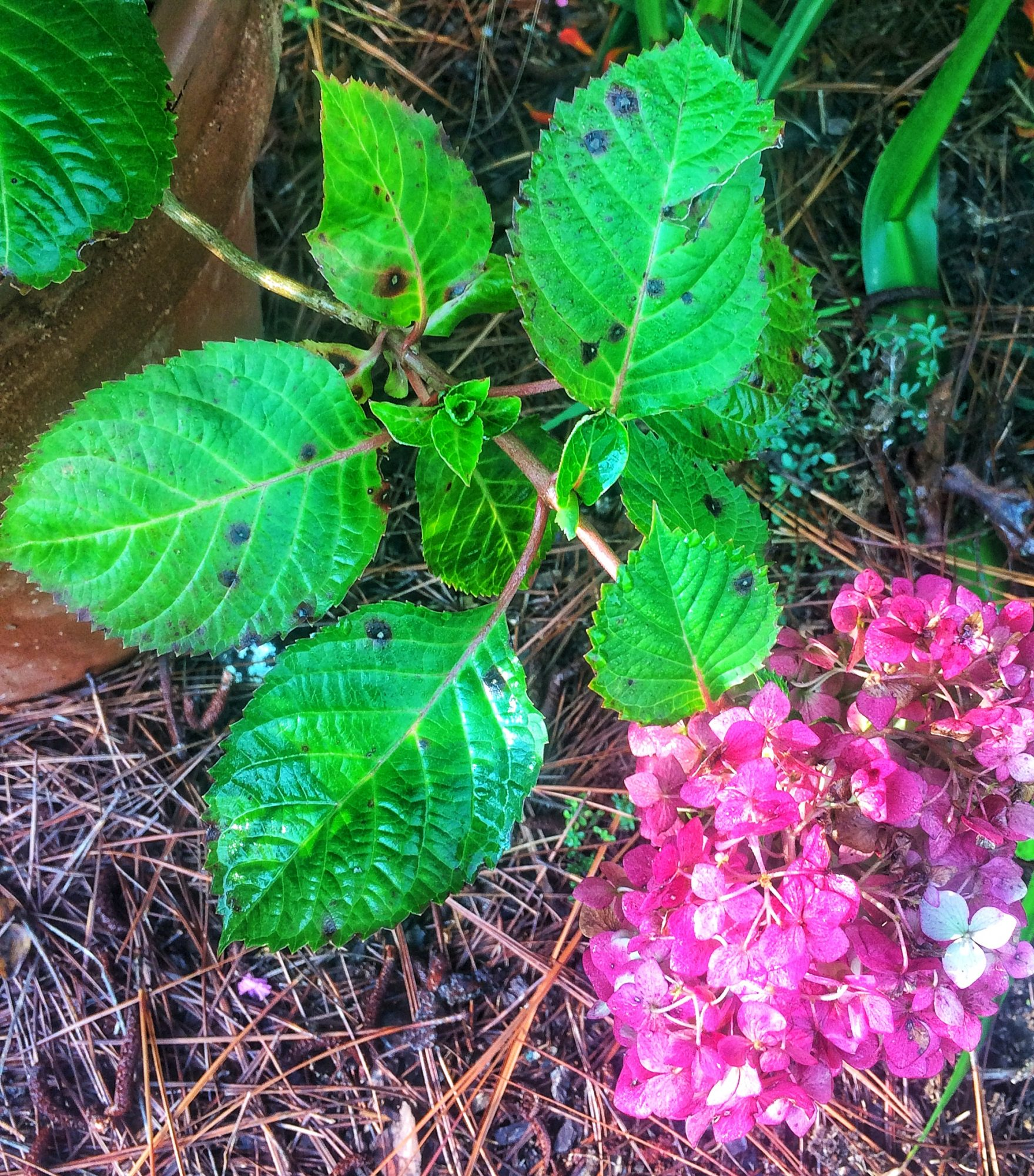Be On the Lookout for This Hydrangea Fungus