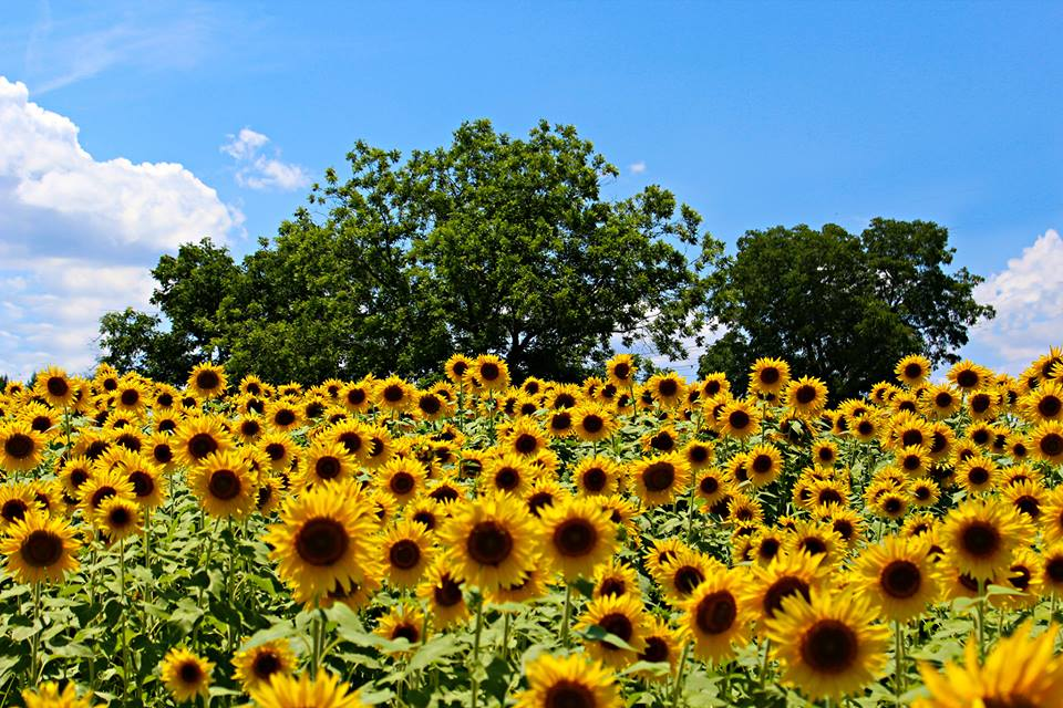 The Sunflower Fields at Neuse River Greenway Trail