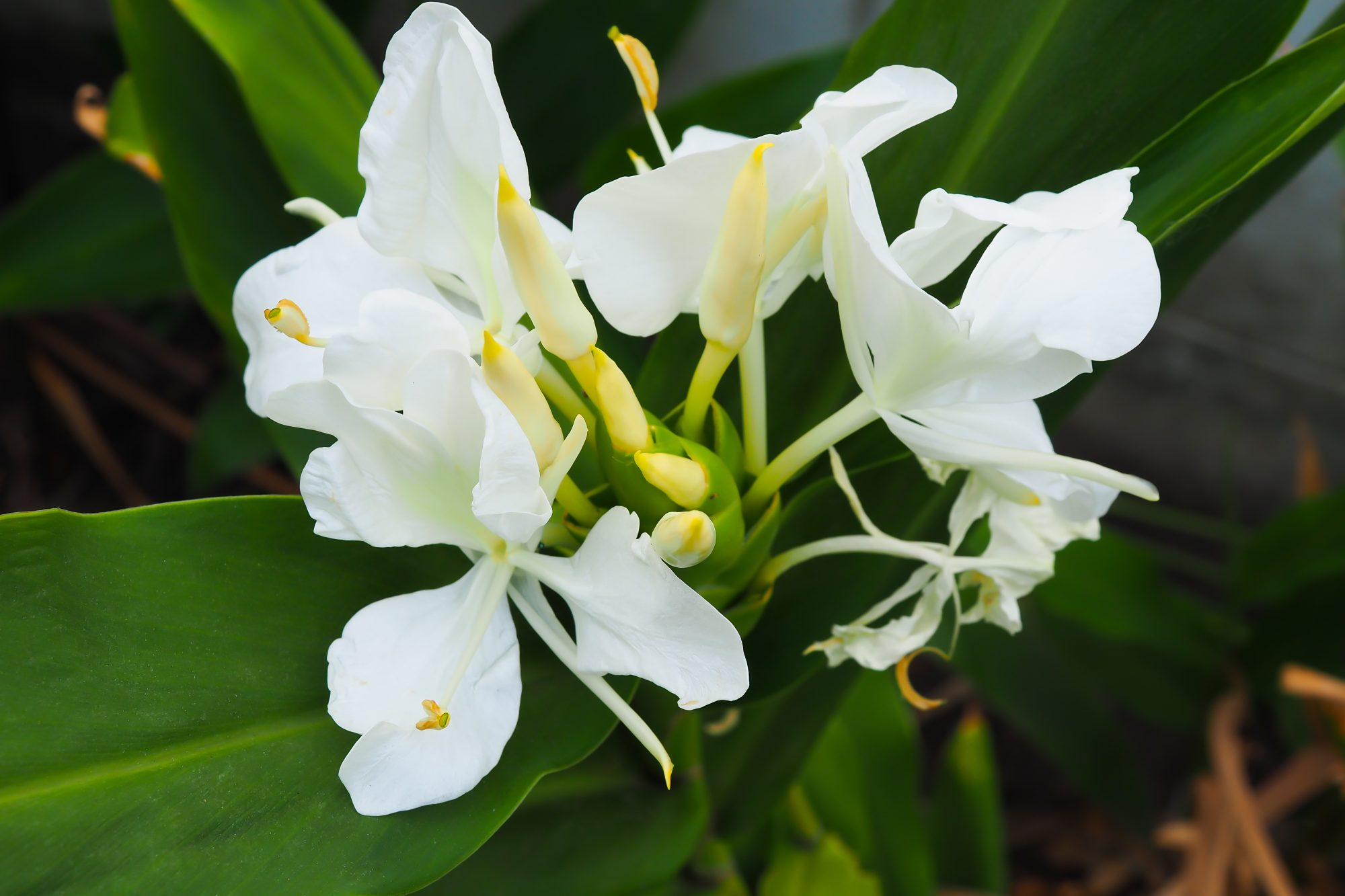 ginger lily sweetens the garden - southern living