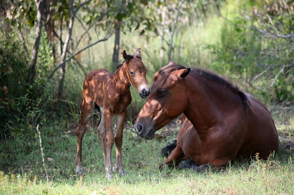 Corolla Wild Horse and Baby