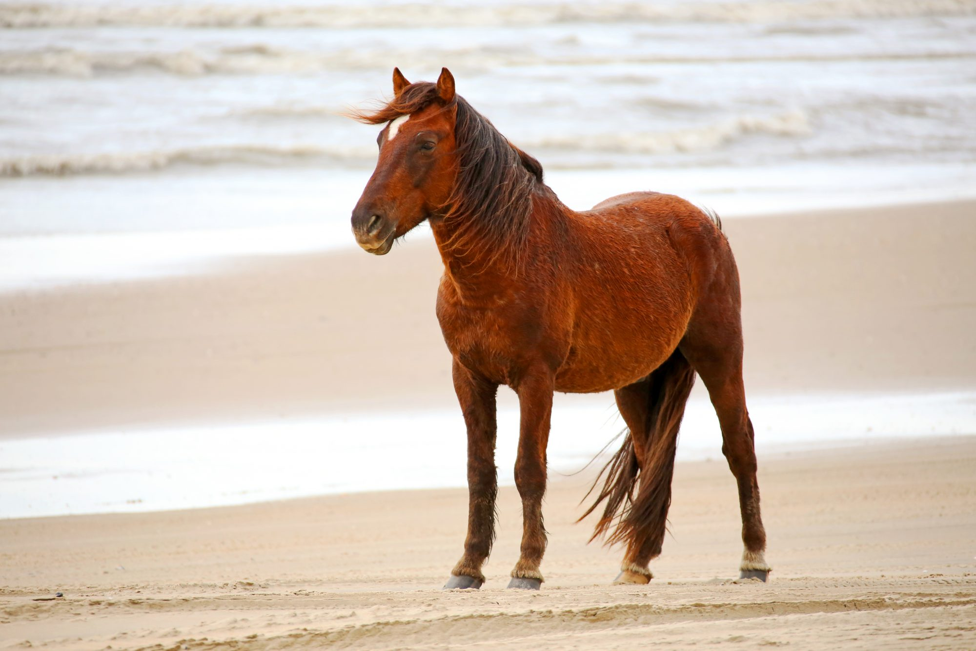 Single Wild Horse on Beach in Corolla North Carolina