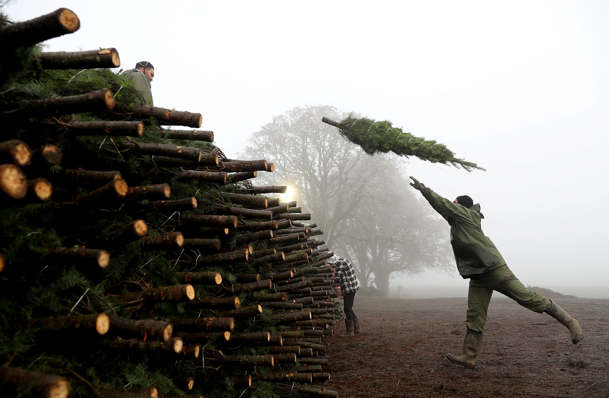 Oregon Christmas Tree Farm Harvests Trees For Upcoming Holiday Season
