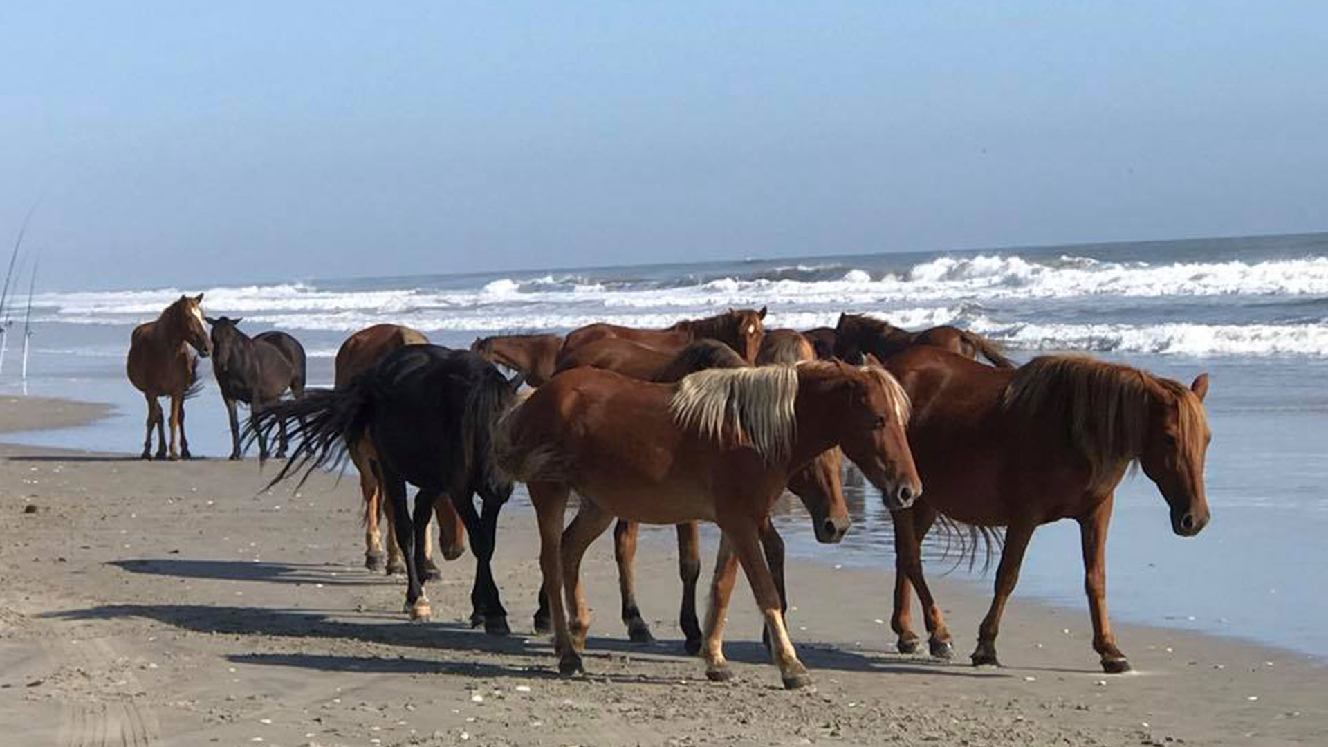 Outer Banks Wild Horse Herd