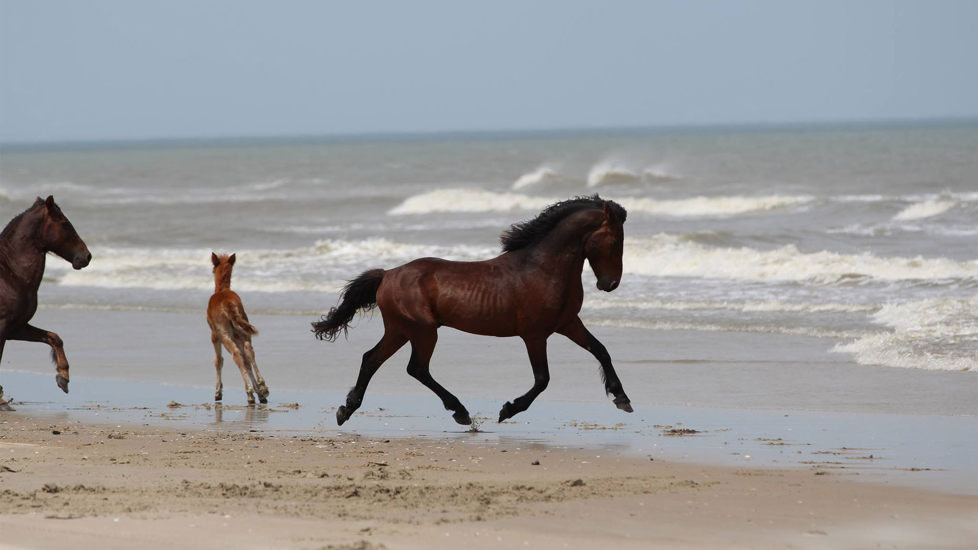 Wild Horses North Carolina Outer Banks