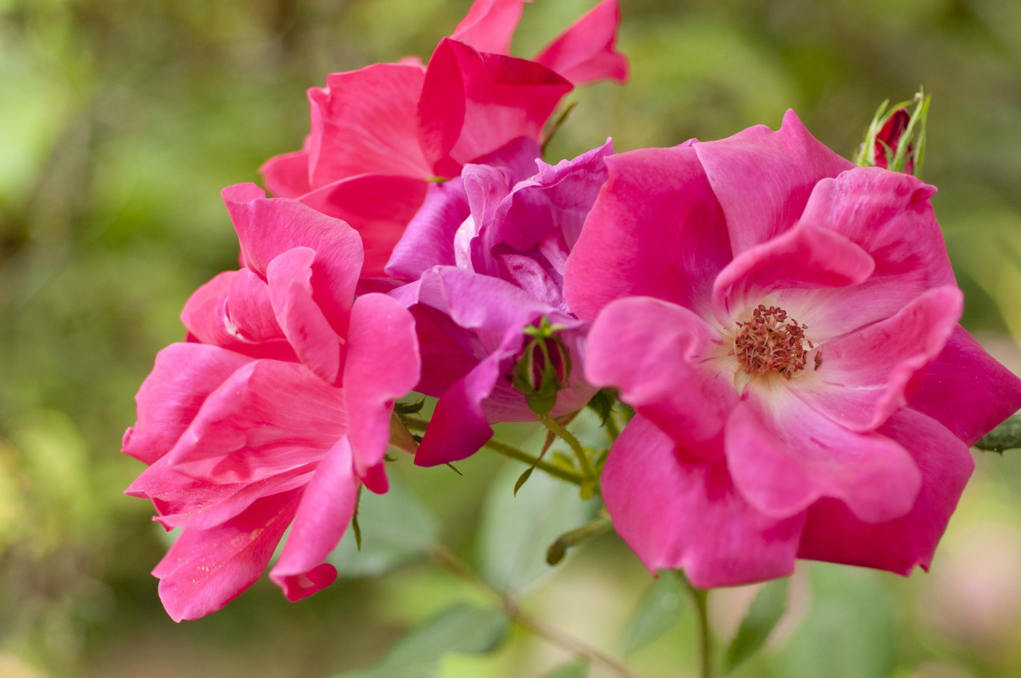 'Knock Out' Rose
