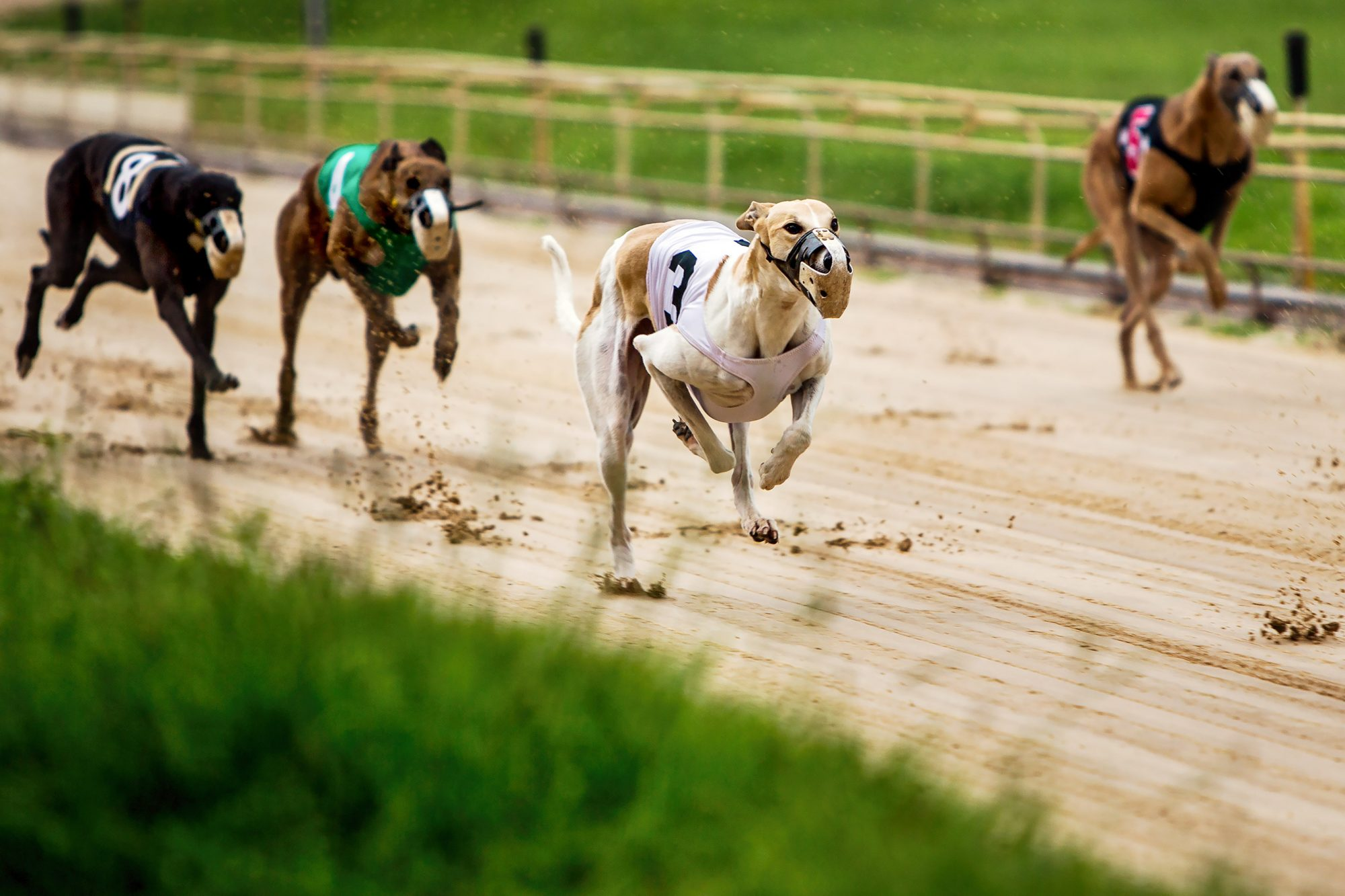 No Dire Emergency for Florida's Racing Greyhounds, Officials Say, as Rescues Fight to Help Them