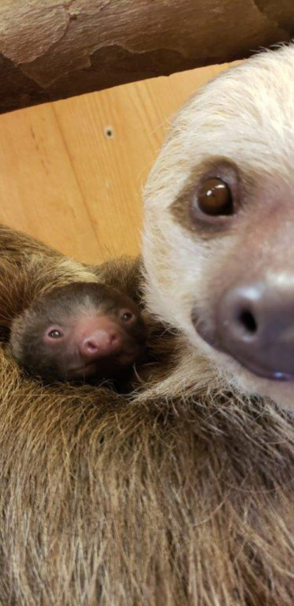 Bonnie the Zoo Sloth Welcomes Adorable Baby Sloth to Help Get You Through the Week