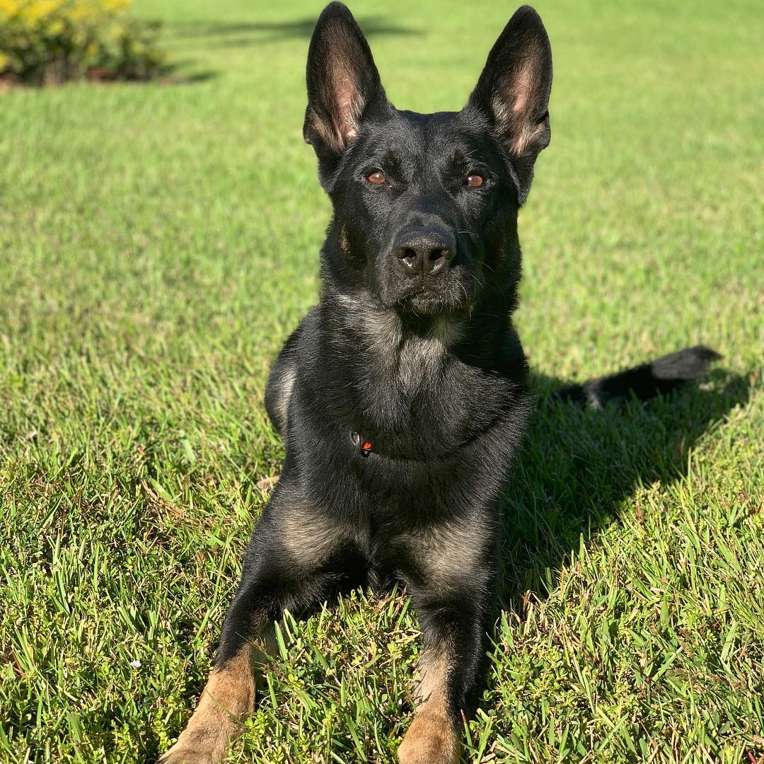 Cigo Palm Beach County Police Dog