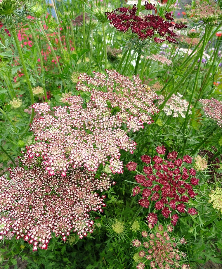Who Spilled Paint on Queen Anne's Lace?