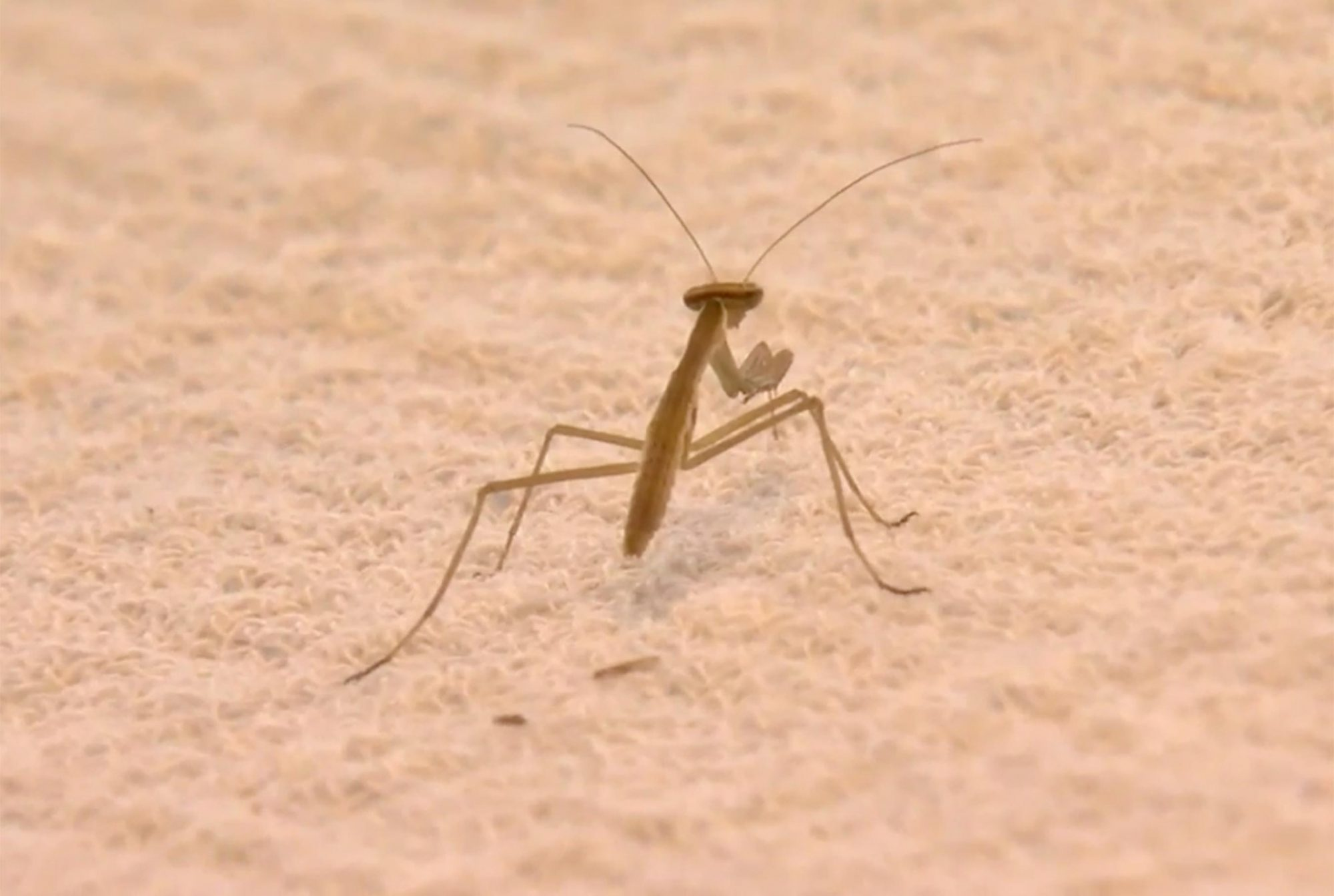Virginia Woman's Home Invaded by More Than 100 Praying Mantises Brought in by Christmas Tree mantis-tree