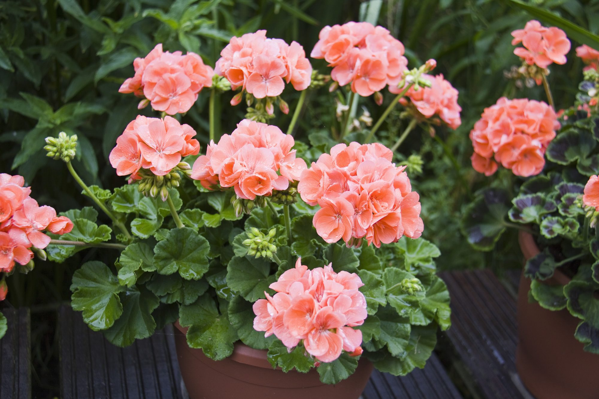 10 Facts About Geraniums That Gardeners Should Know