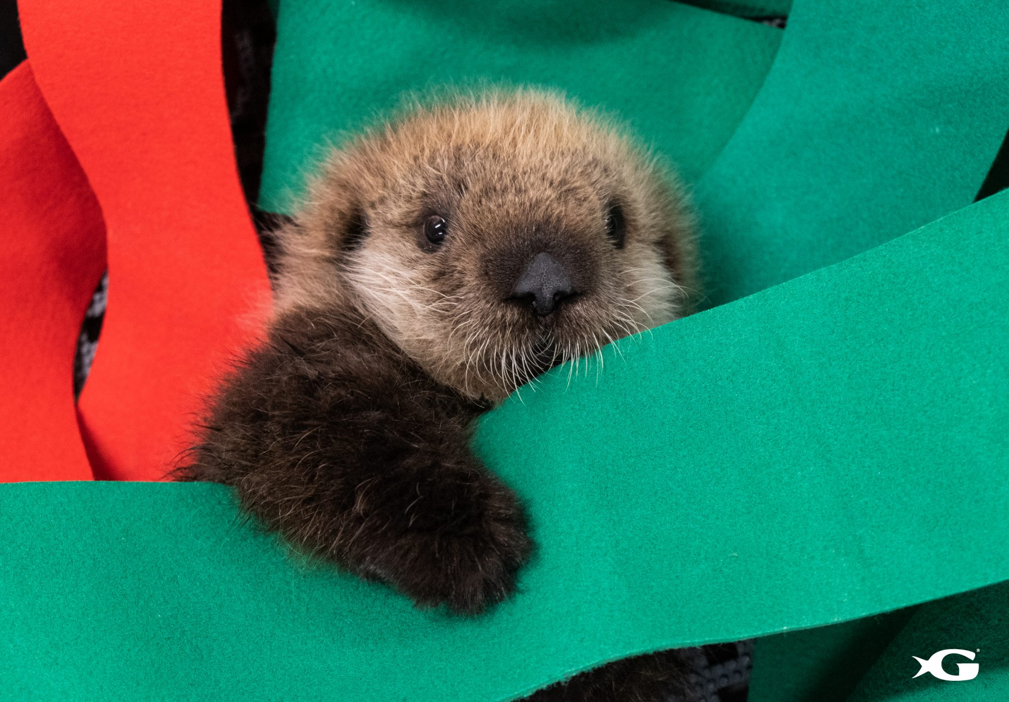 Two Rescued Baby Sea Otters Have Arrived at Georgia Aquarium