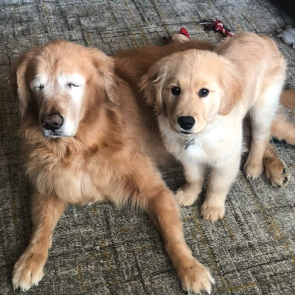 """Blind Golden Retriever from North Carolina Gets his Own """"Seeing-Eye"""" Puppy"""