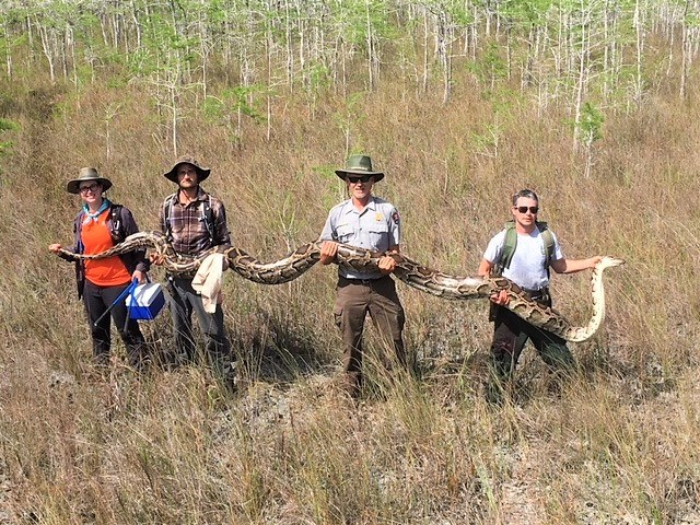 Florida Environmentalists Capture 17-Foot-Long Python: Biggest Ever Found in the Everglades