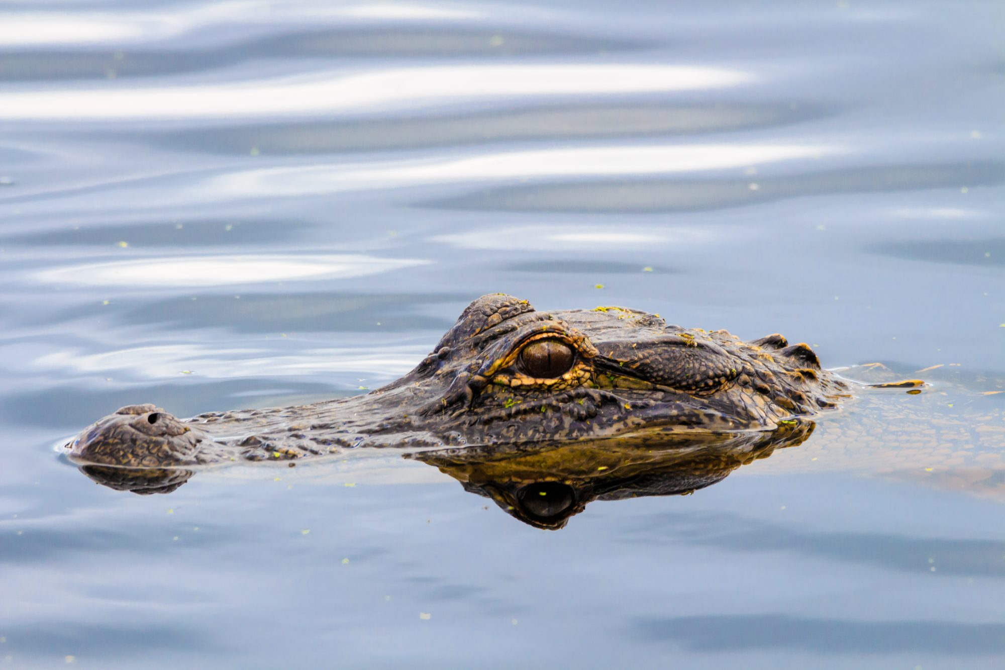 Alligator in Panama City Beach, Florida