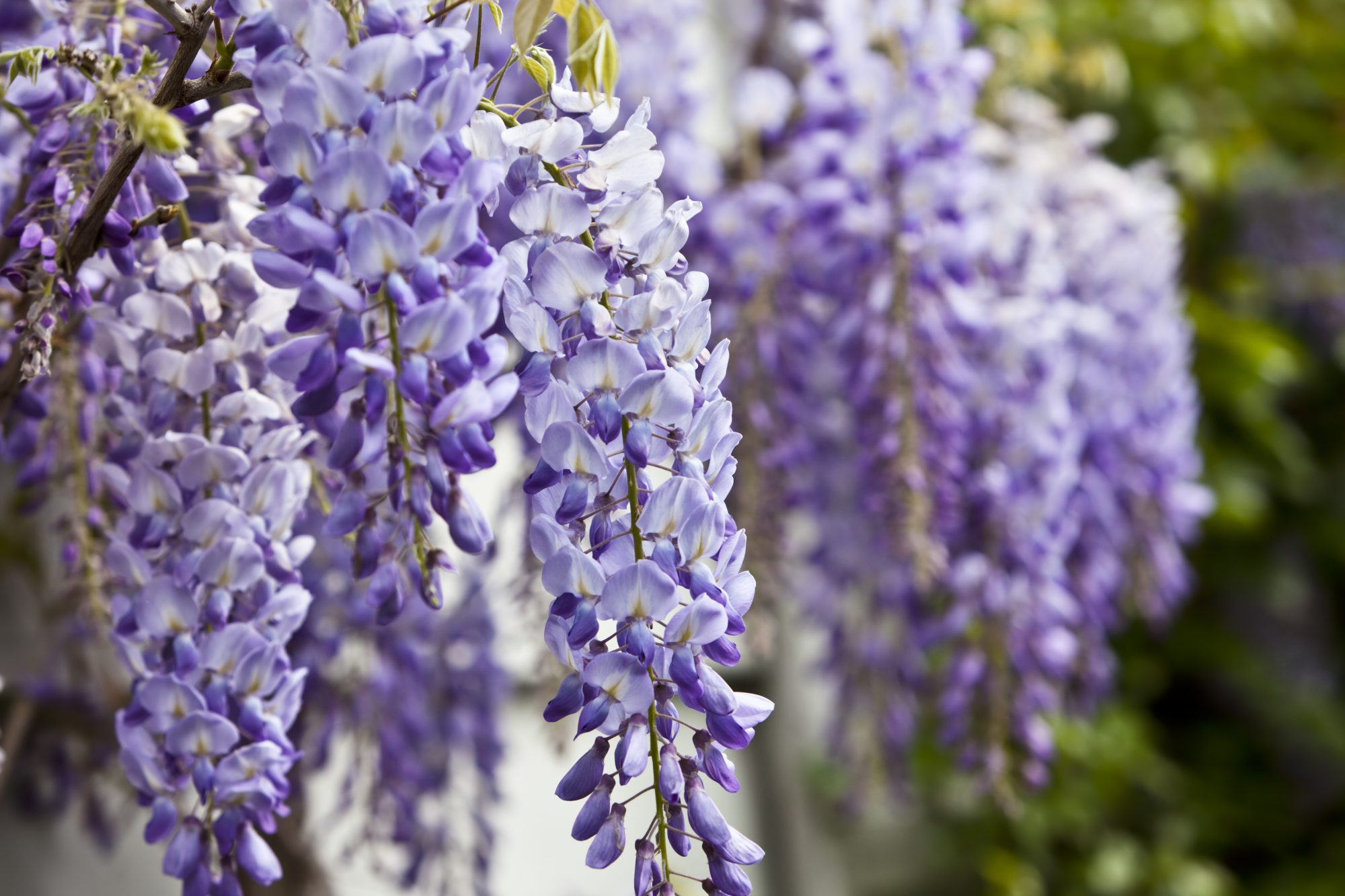 Purple Wisteria Bloom