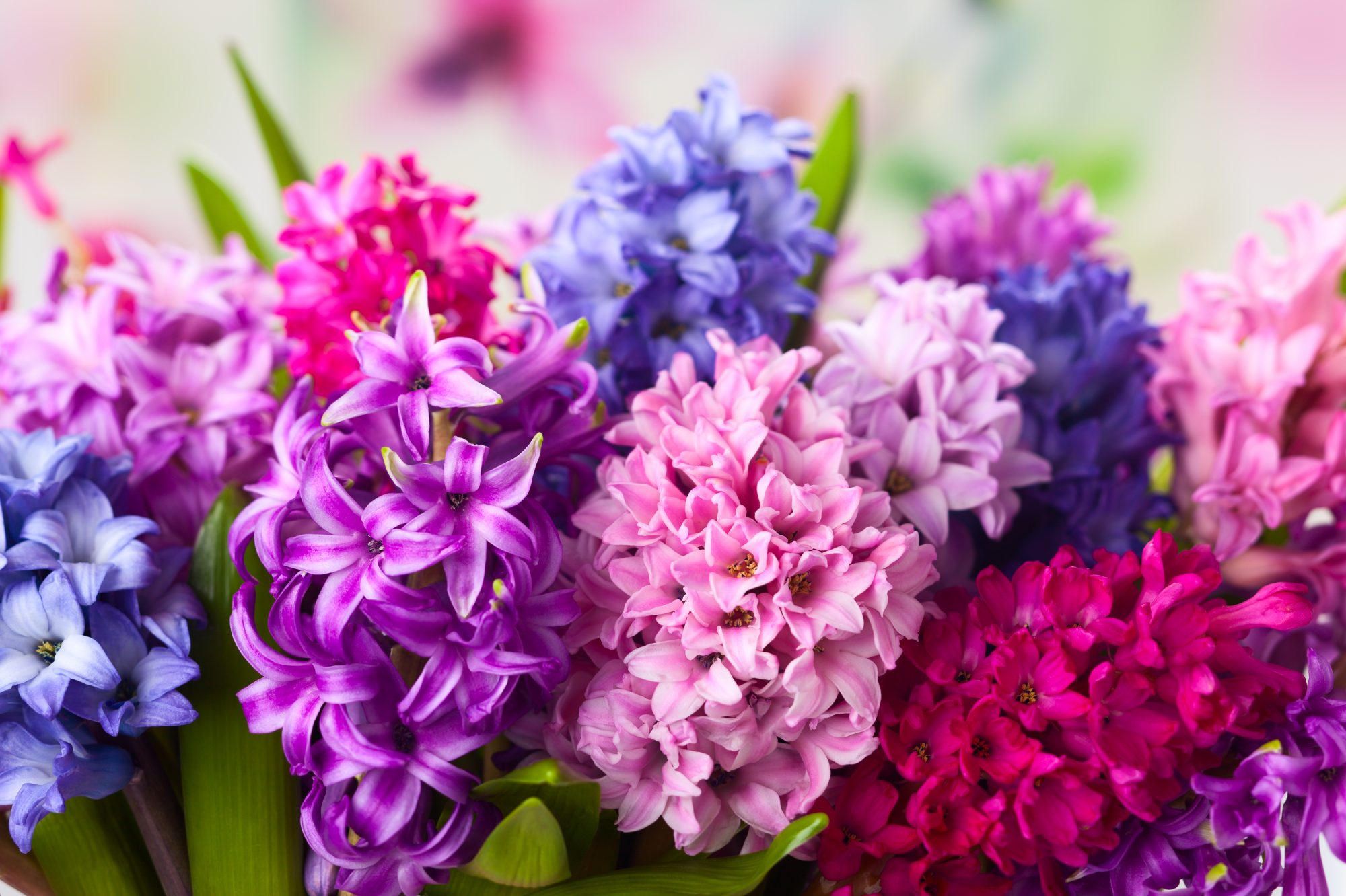 The Complete Guide to Growing Hyacinths