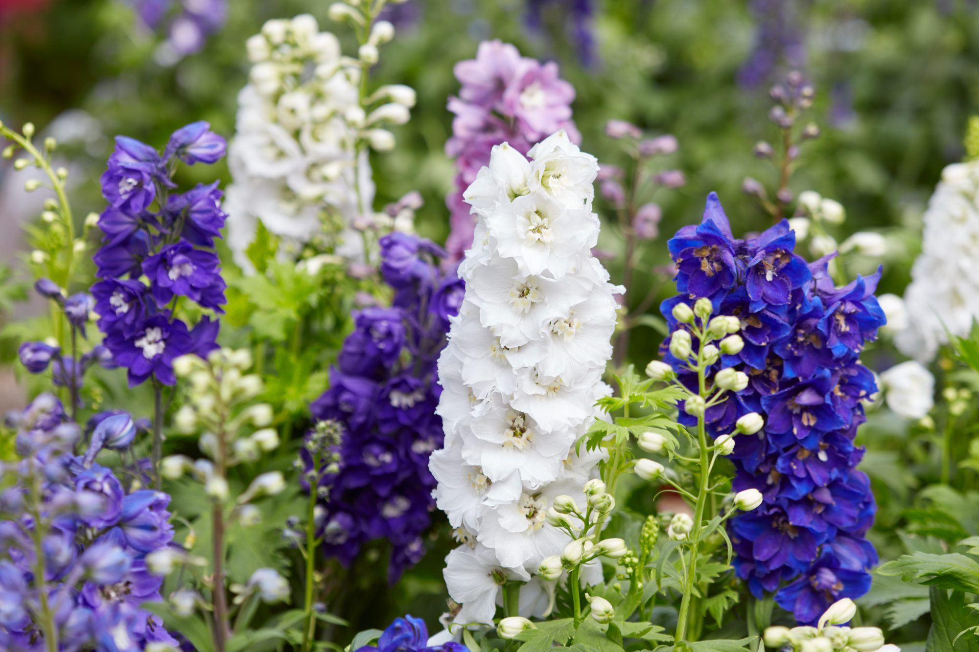 Delphinium Is the Flower Your Garden Has Been Missing