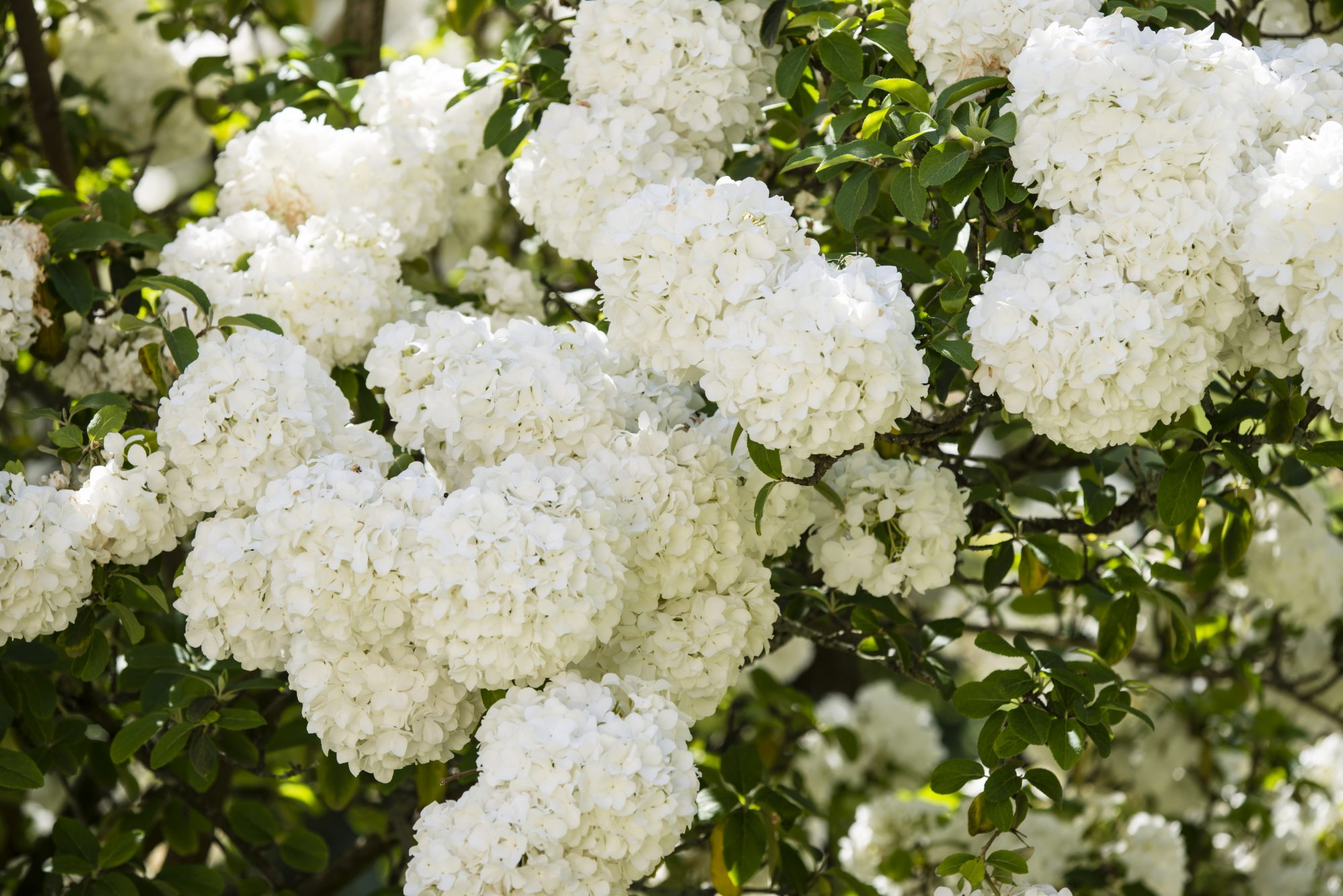 This Showy Shrub Gives the Southern-Favorite Hydrangea a Run for Its Money