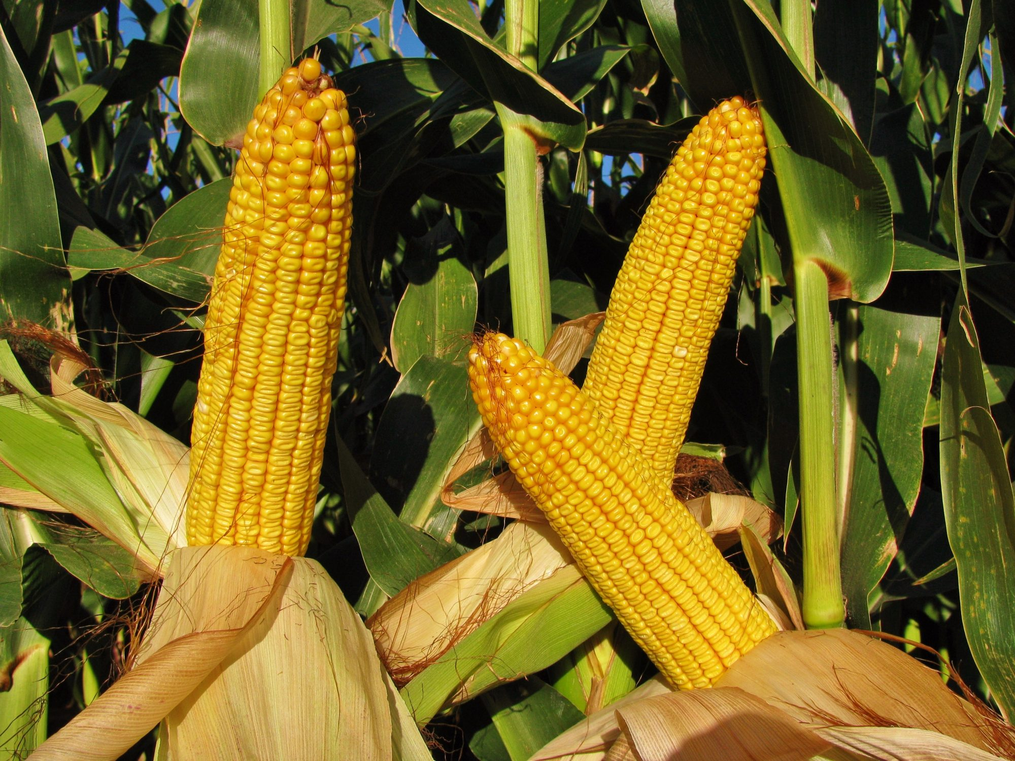 difference in cow corn and sweet corn