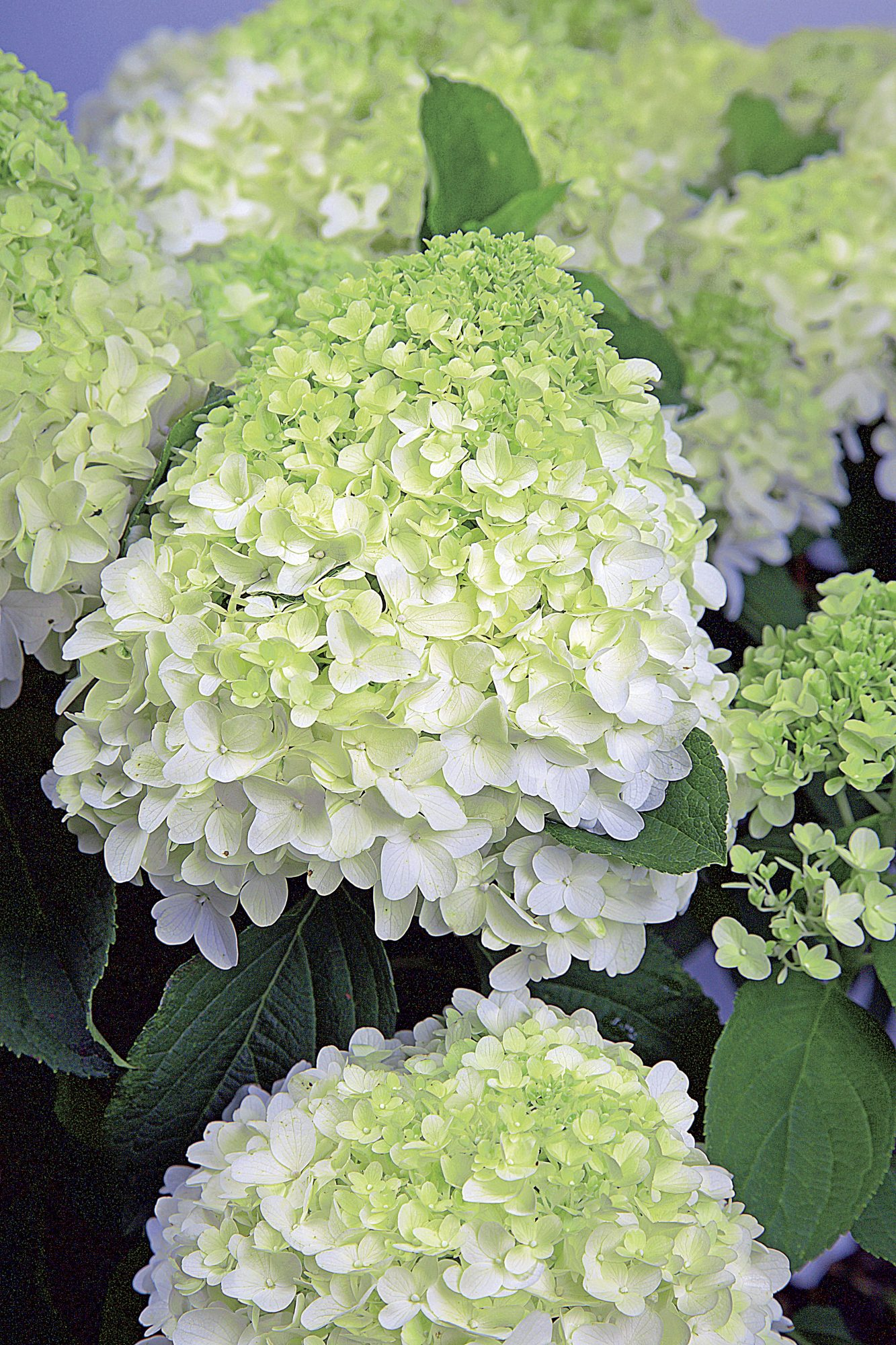 White Wedding Hydrangea from the SL Plant Collection