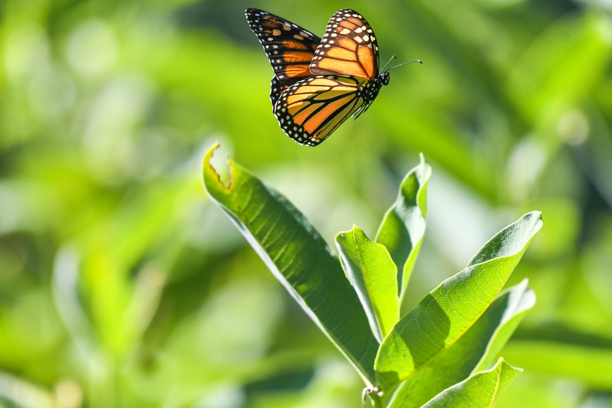 Plant This If You Want Monarch Butterflies to Take Over Your Yard