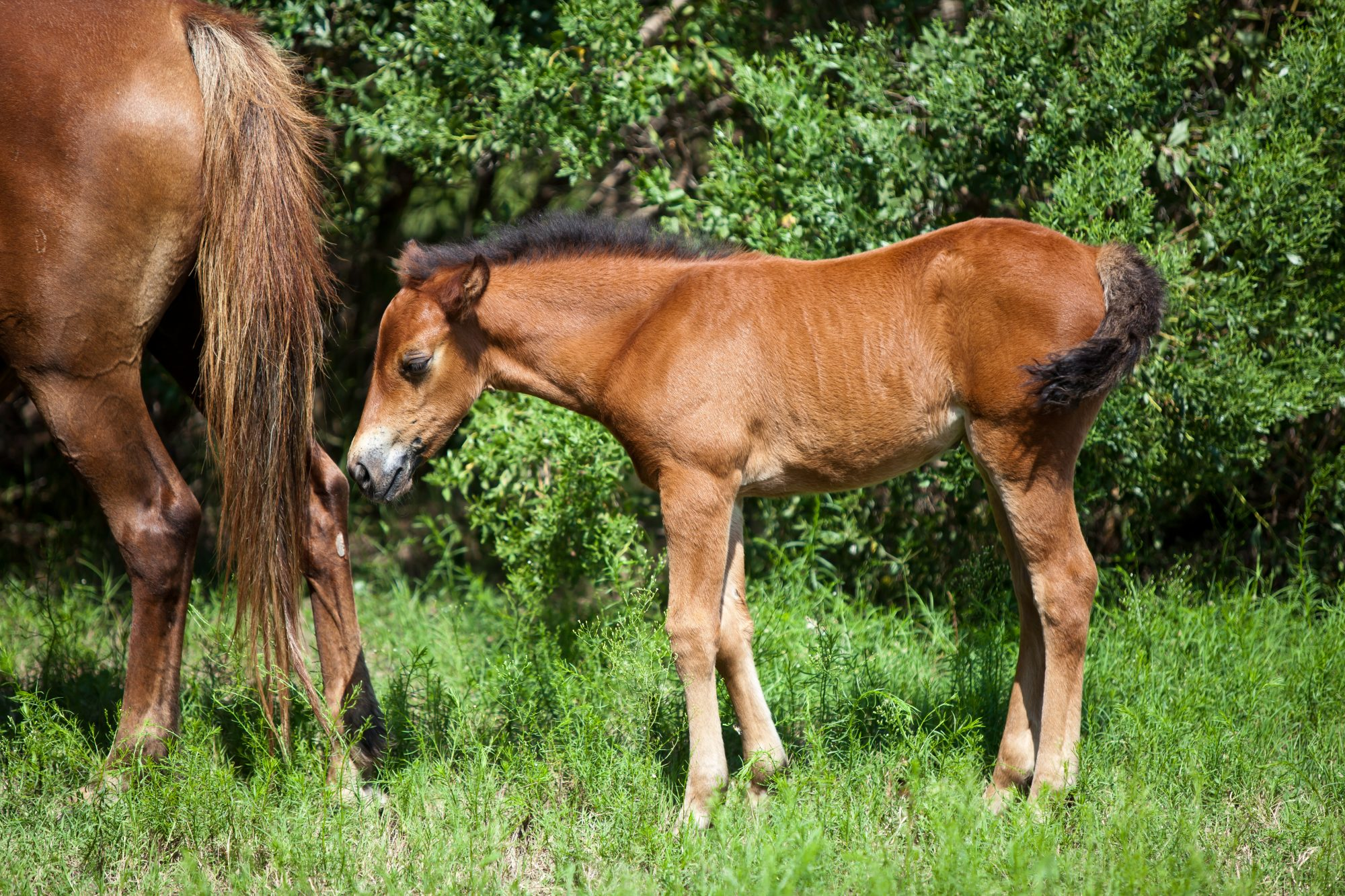 See a Rare Video of Young Foal Playing with its Wild Horse Mama in the Outer Banks