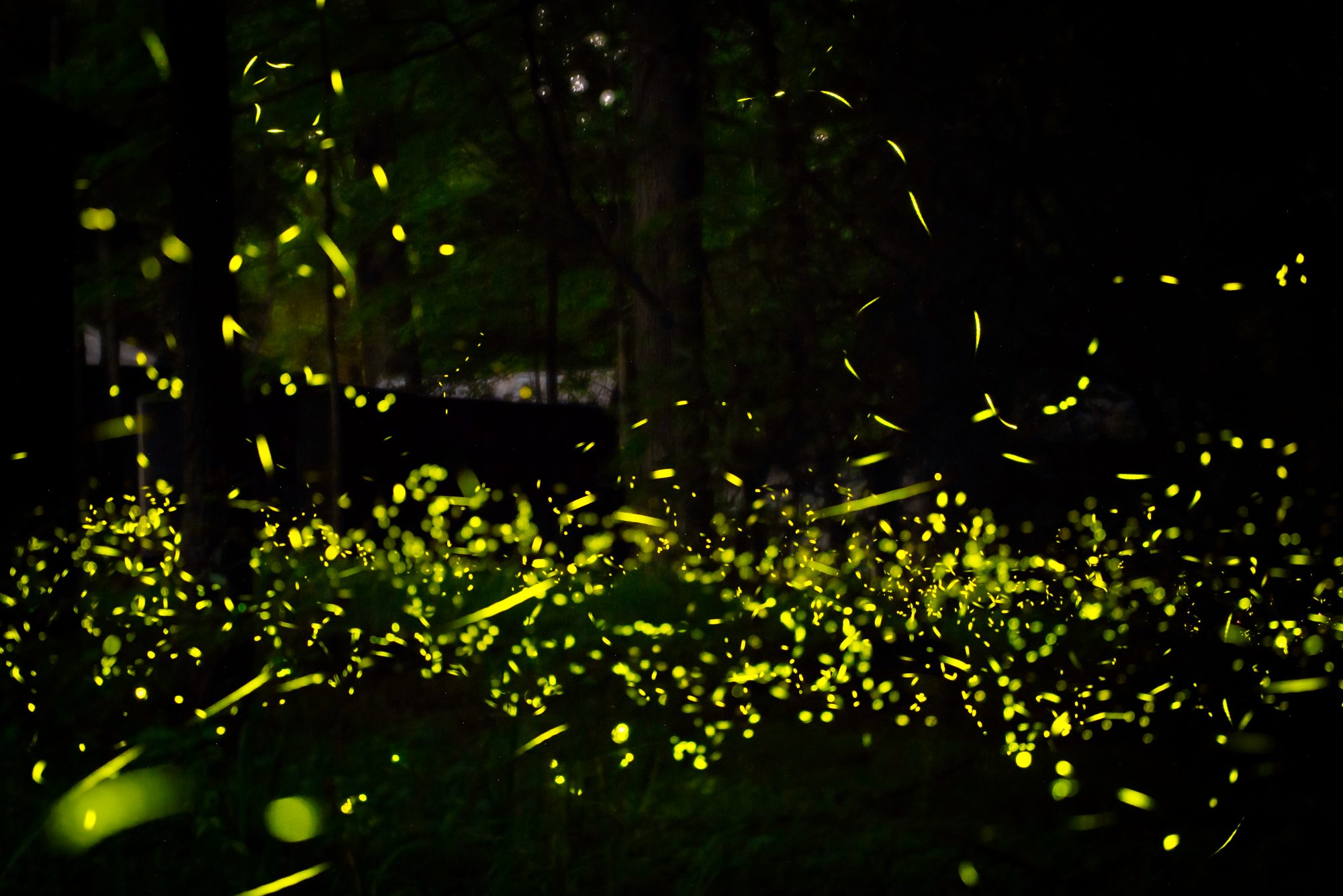 Great Smoky Mountains Fireflies Will Soon Put on the Most Amazing Light Show