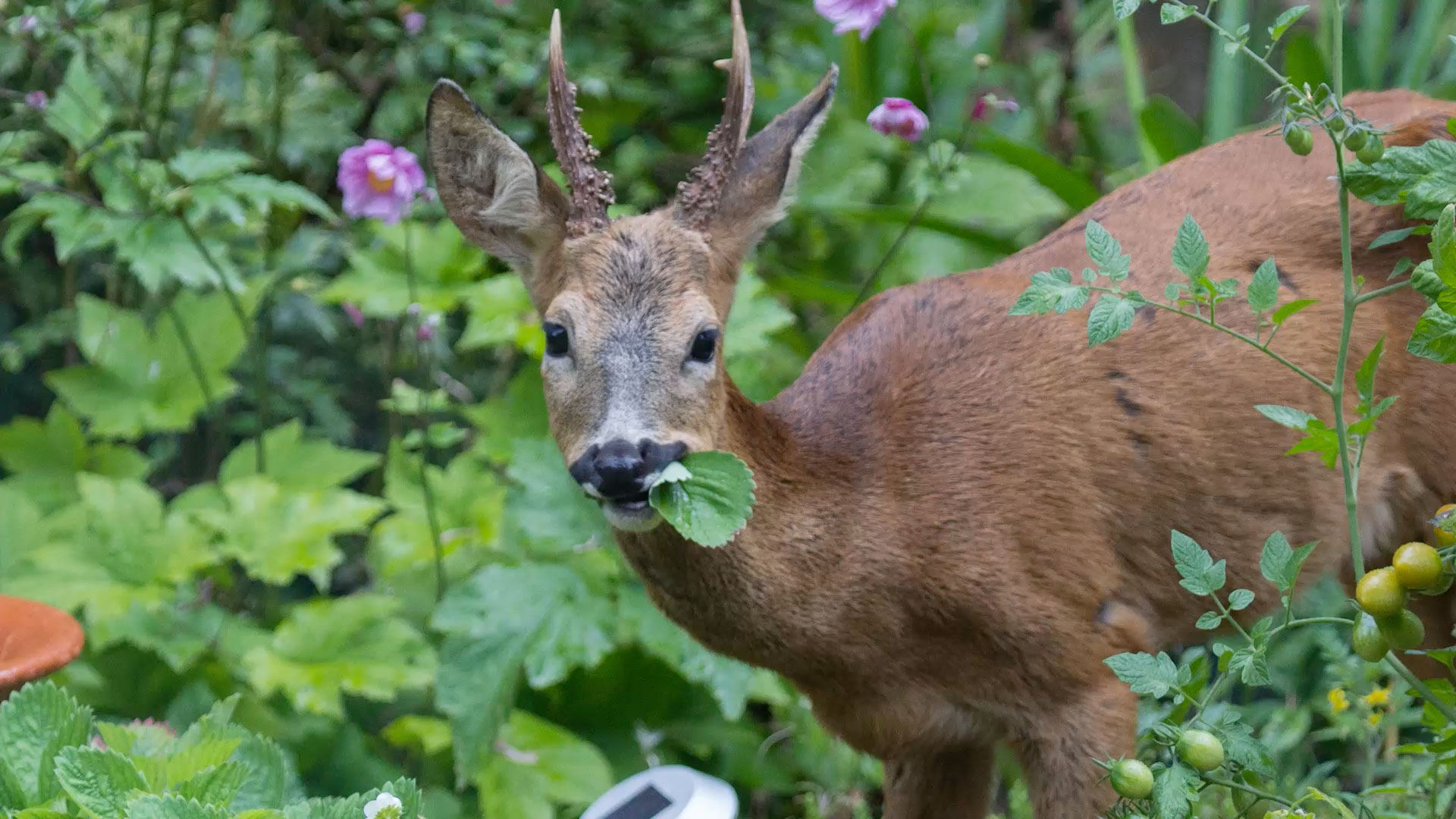 Getty Deer Chewing Plant