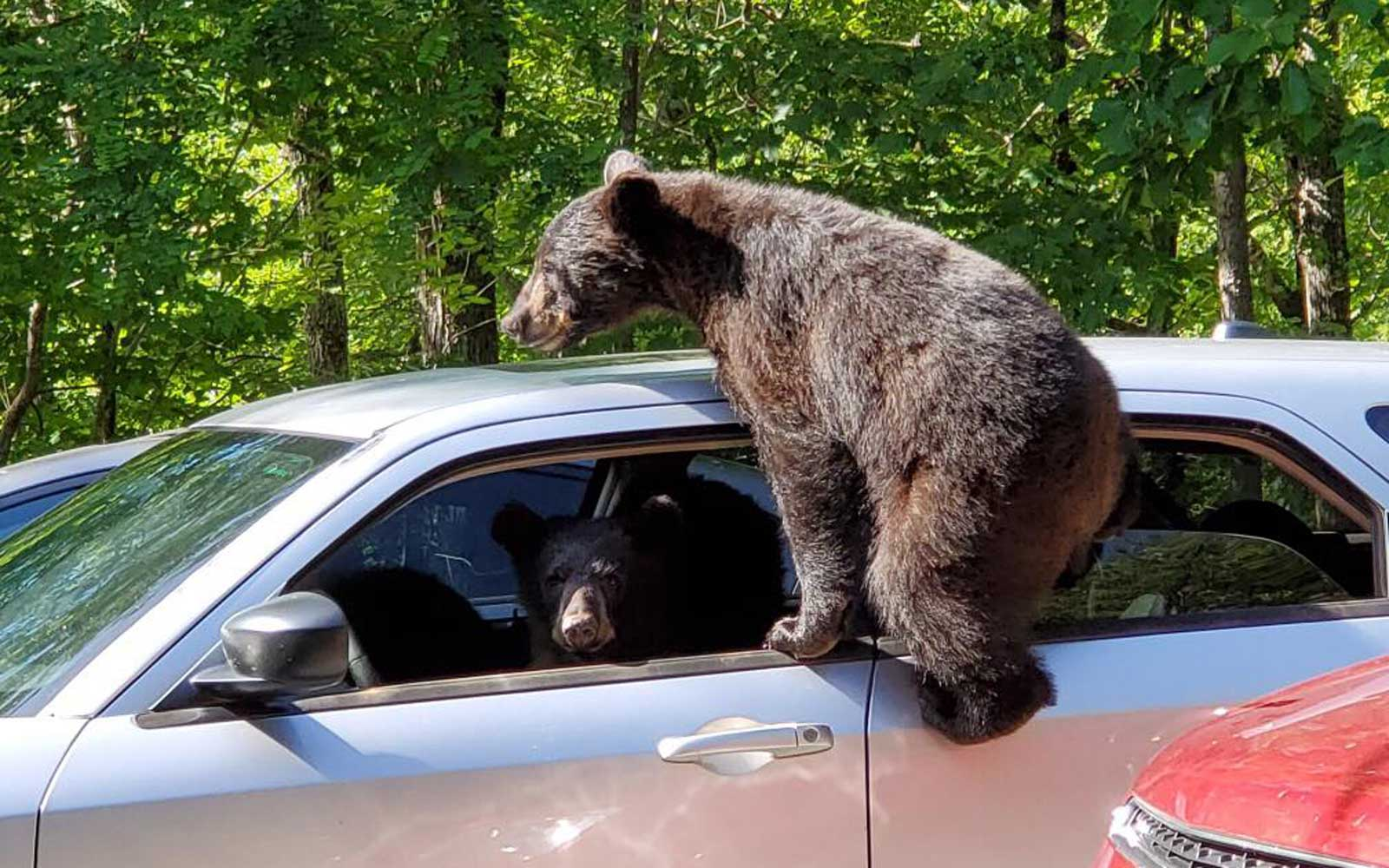 Bears climb in car in Gatlinburg, TN