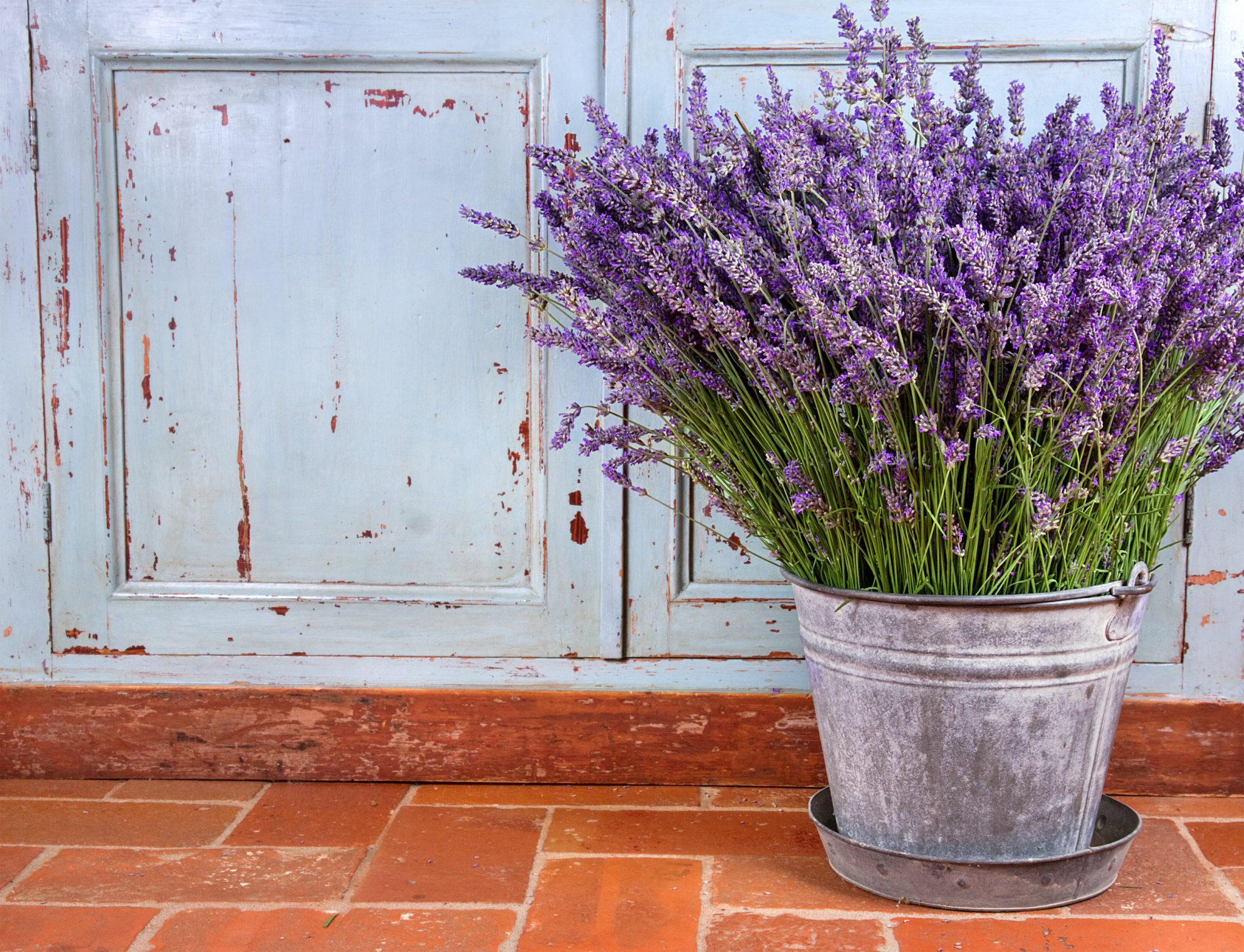 How to Grow Lavender in the South