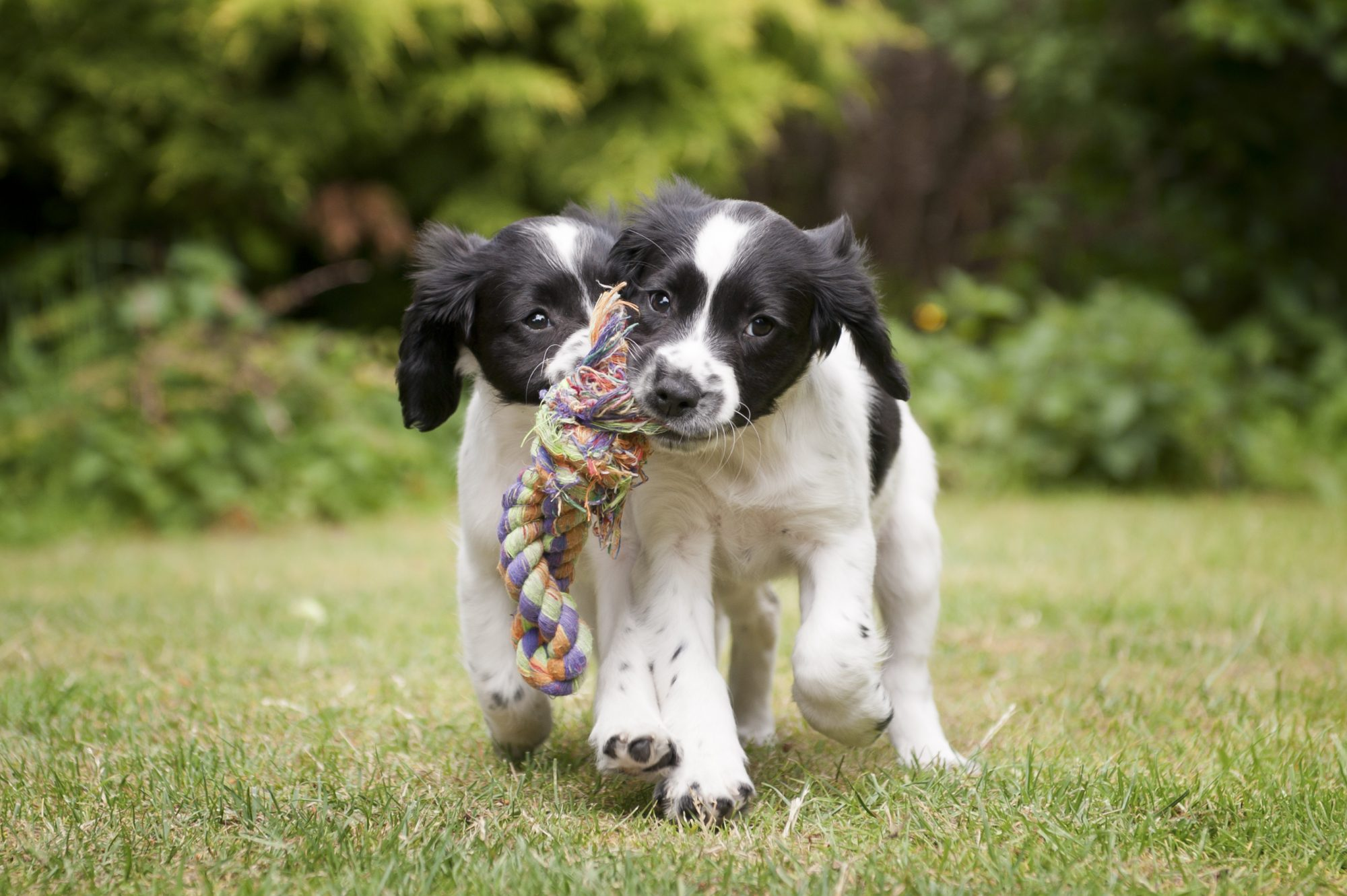 Two Cute Spaniel Puppies