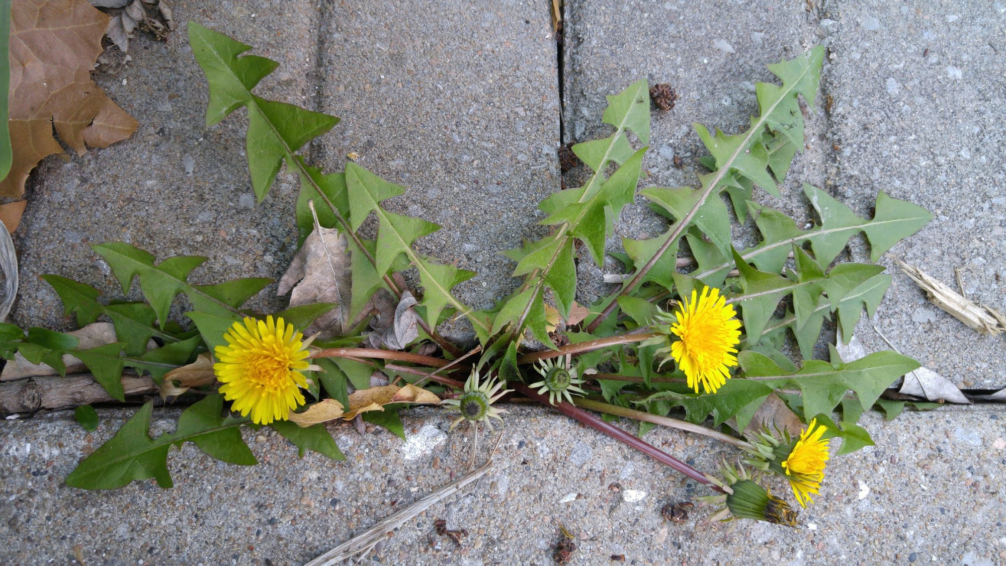 Dandelion Weeds Growing in Patio