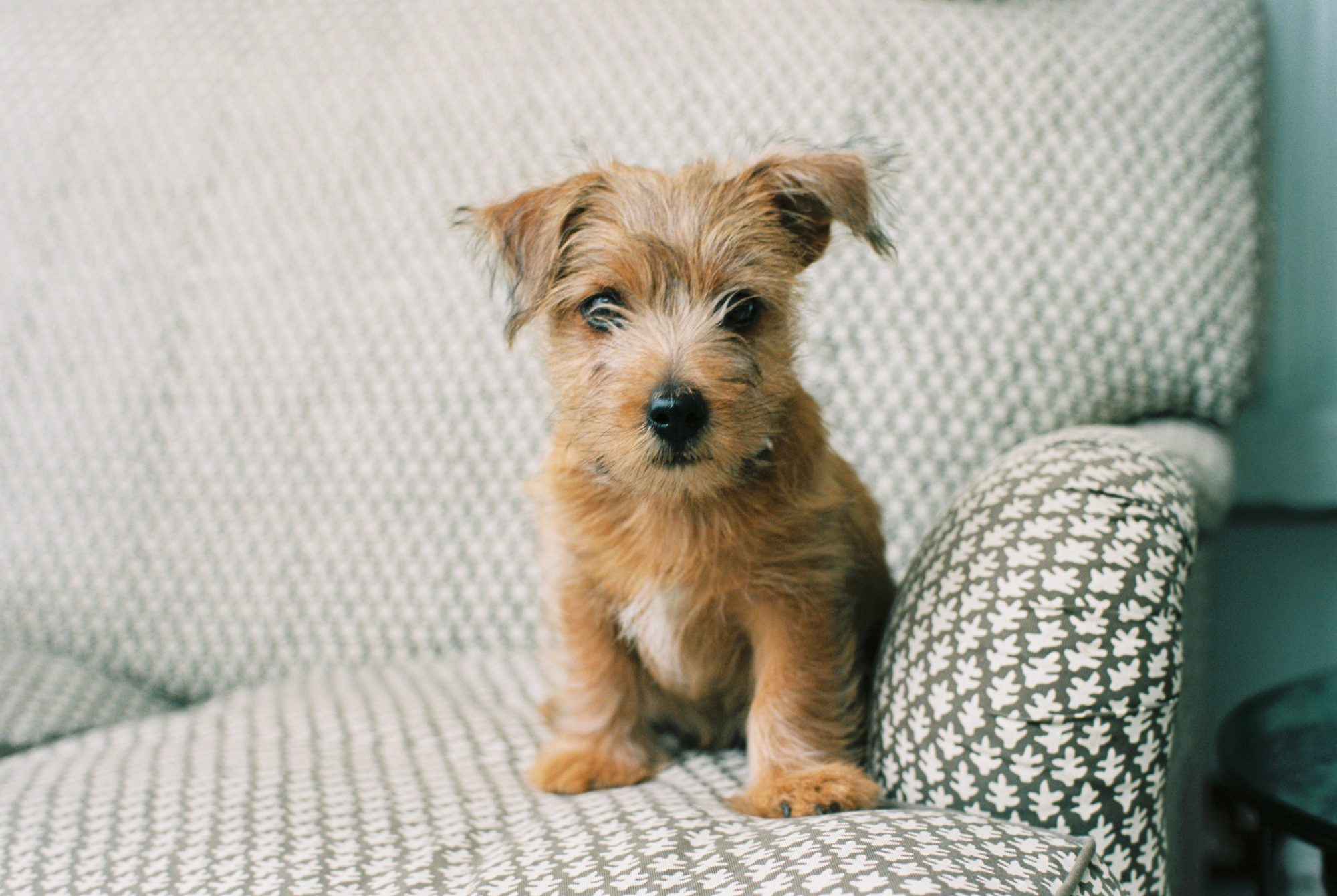 Young Puppy on Couch