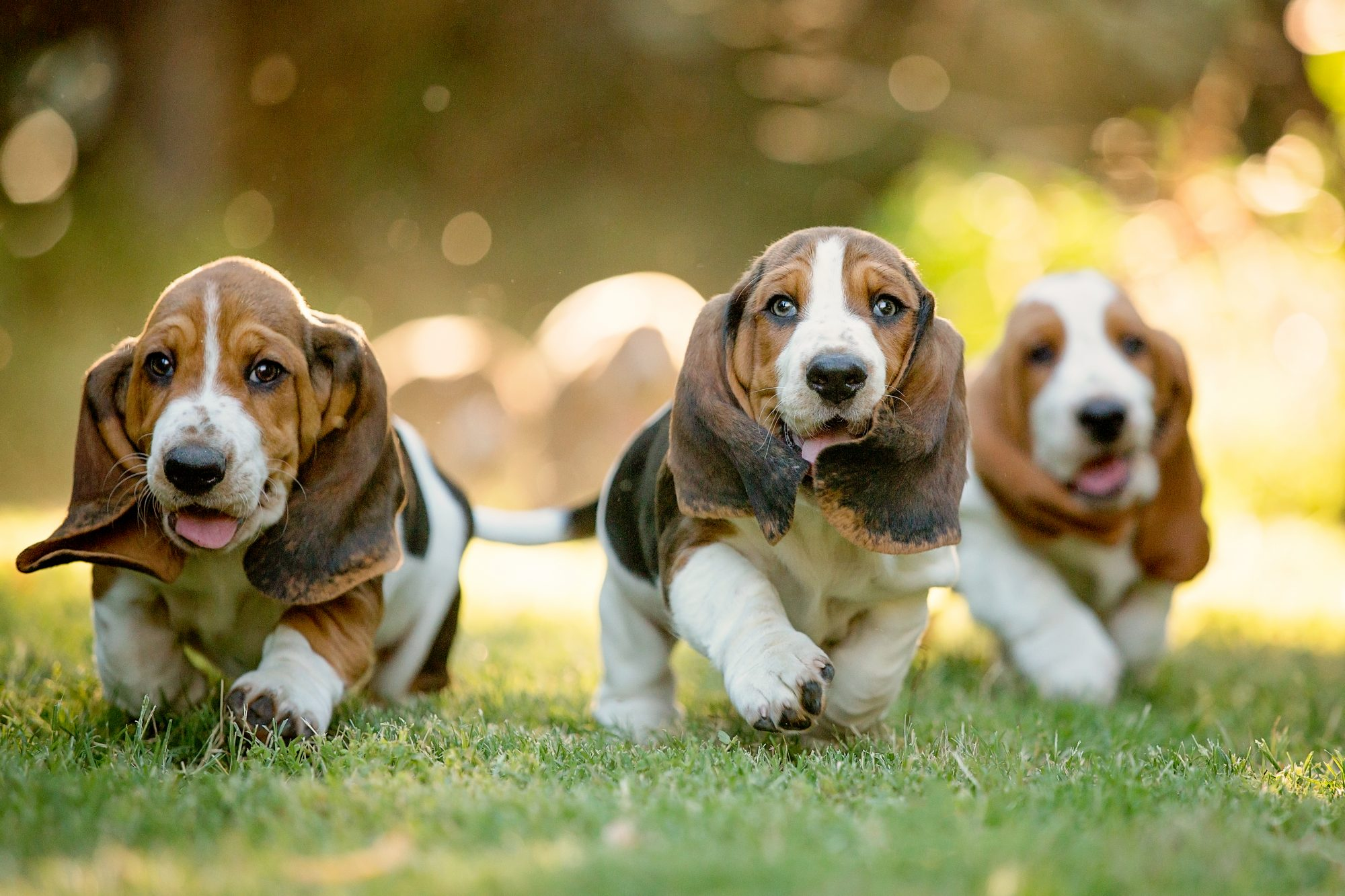Three Basset Hound Puppies Running