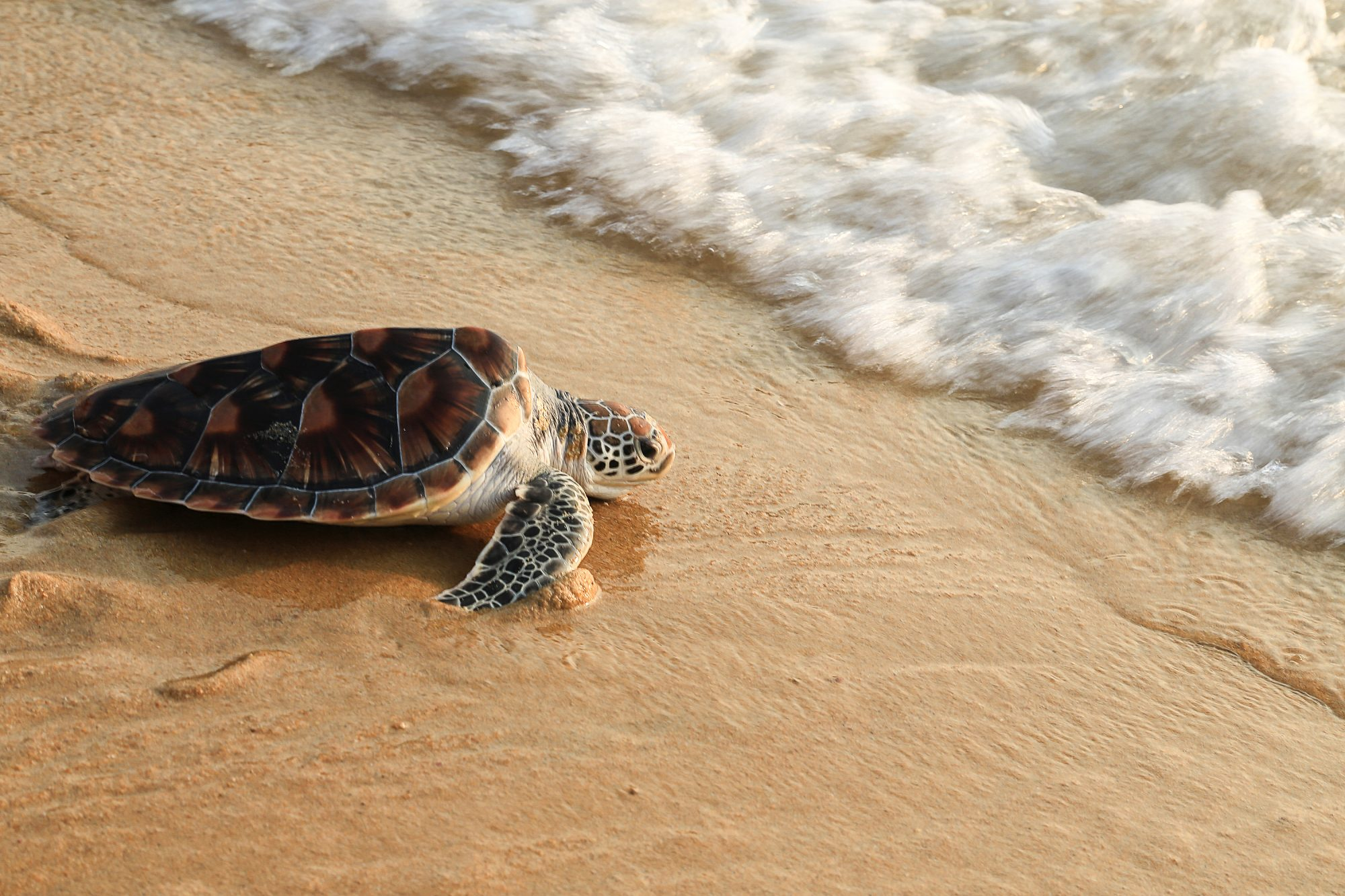 Sea Turtle Returning to Ocean