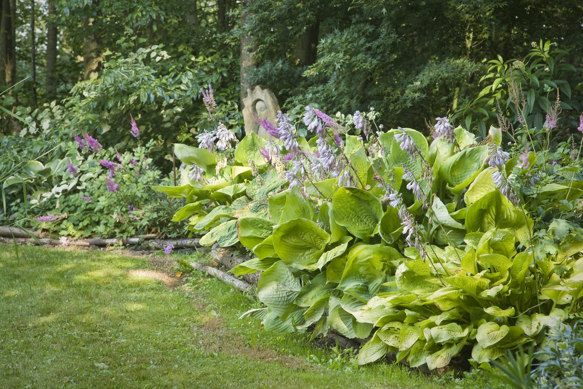 Hostas Blooming in Garden
