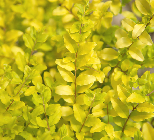Sunshine Ligustrum Is the Easy-Care Hedge You'll Love - Southern Living