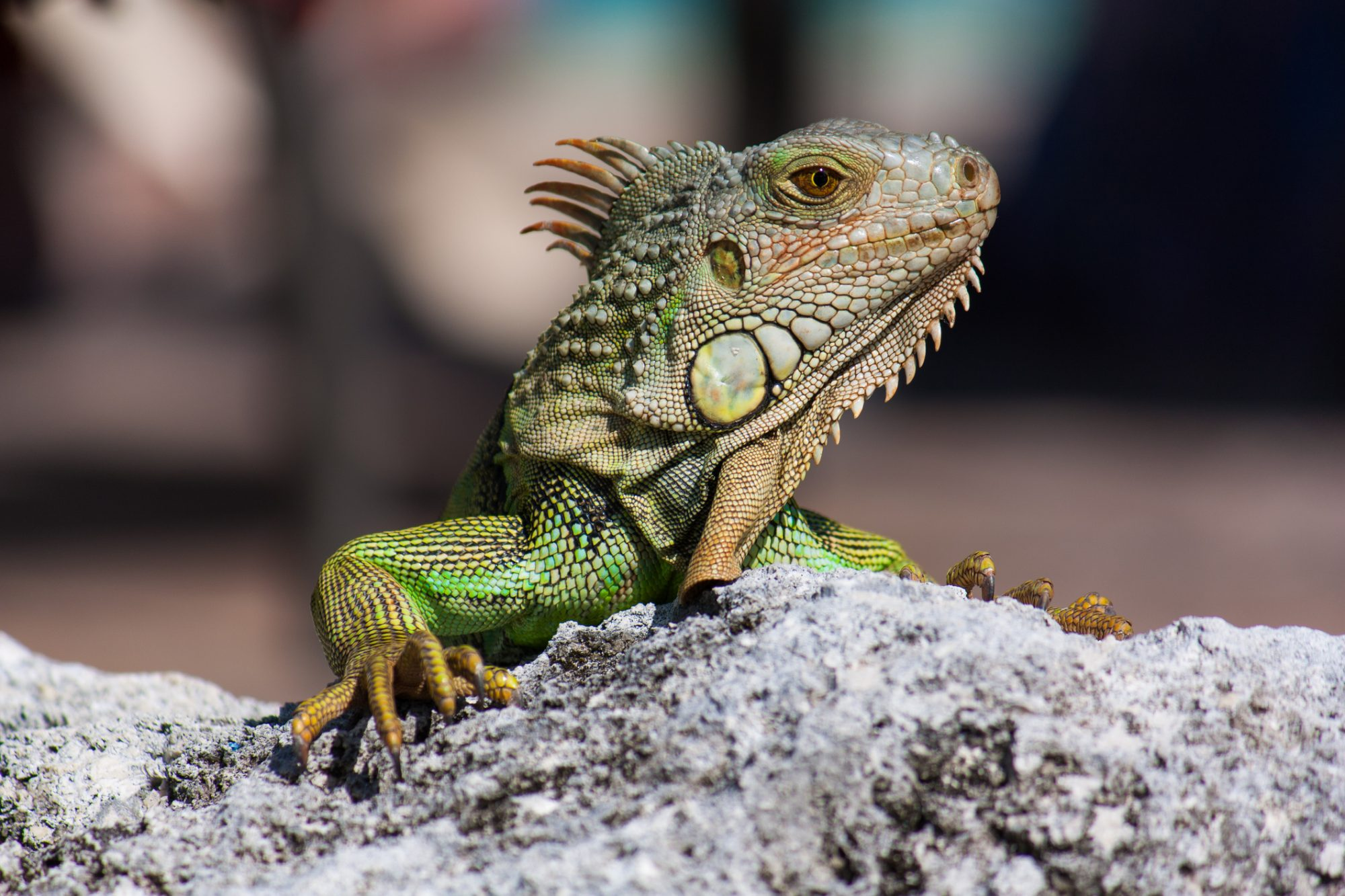 Florida's Next Big Threat Is Iguanas