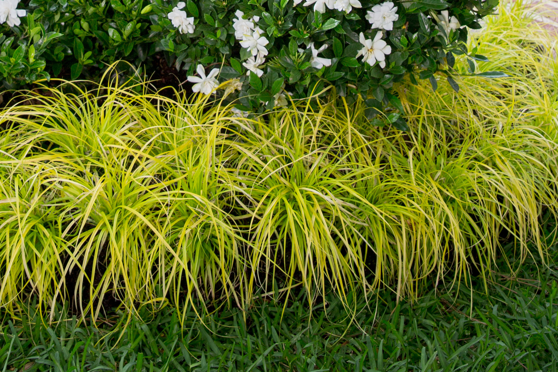 'Everillo' Carex plant for front yard