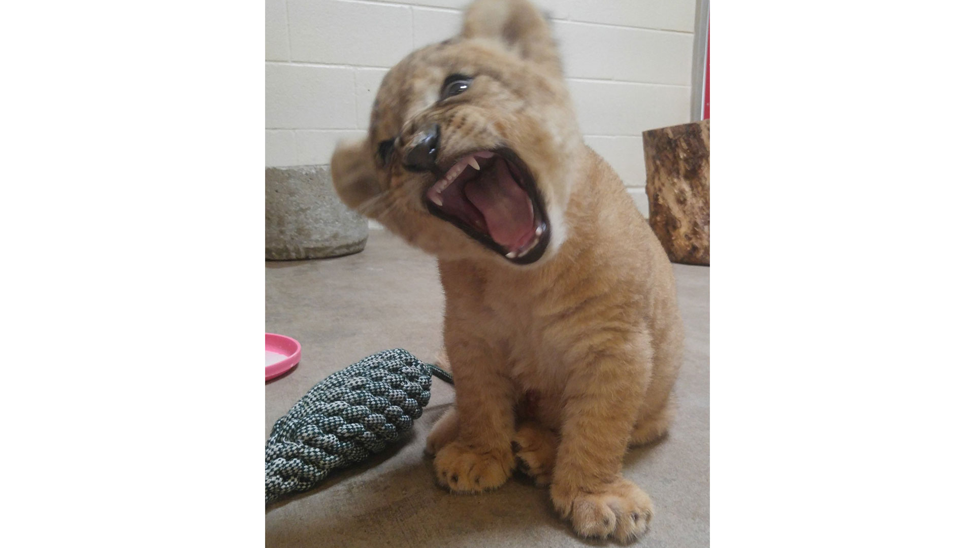 Bahati Dallas Zoo Lion Cub Roar